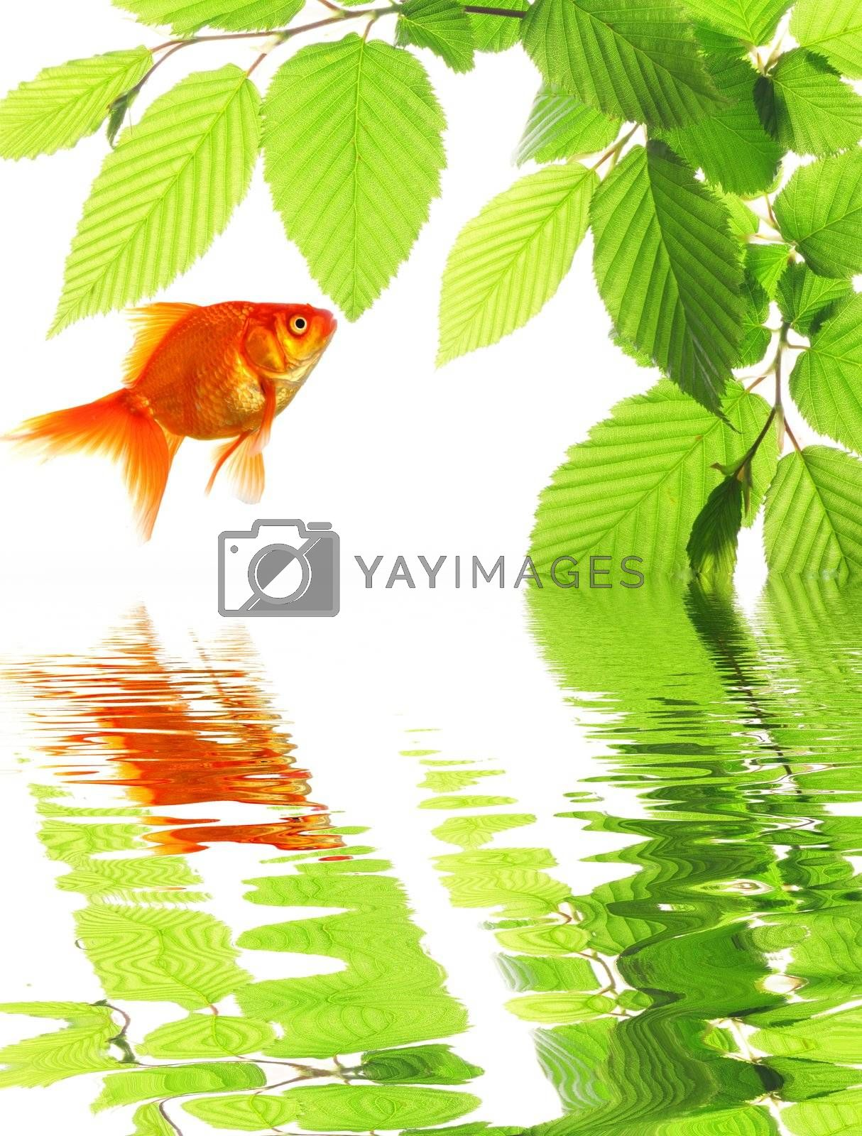 goldfish in nature with summer leaves and water reflection showing eco ecology or environment concept