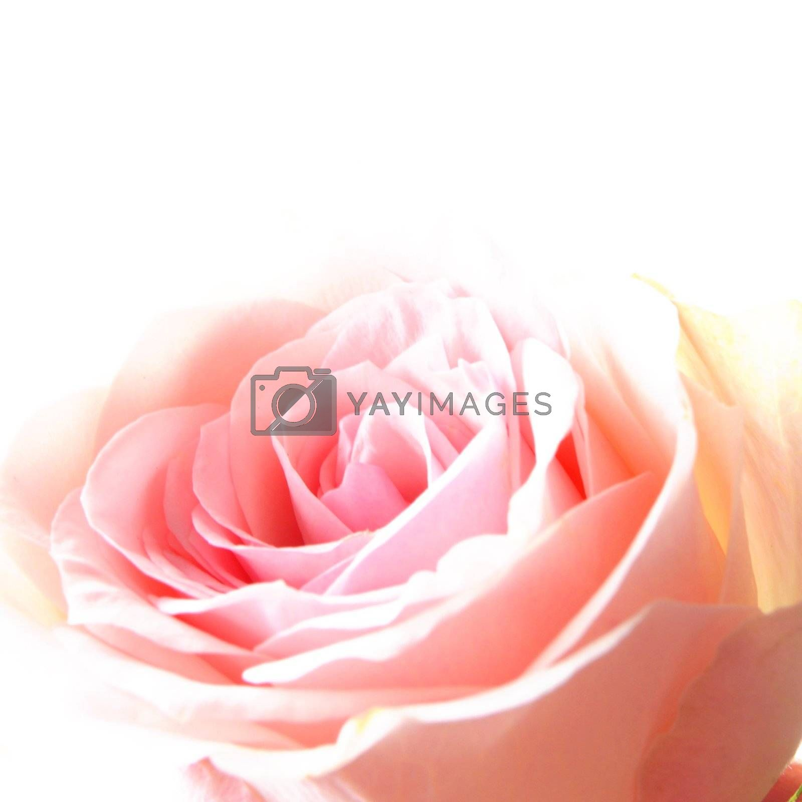 flowers of pink roses on white background