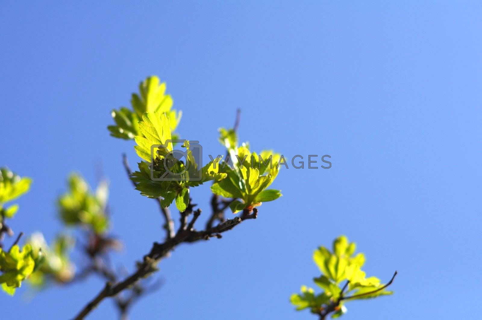 green spring leaves with copyspacee showing nature concept
