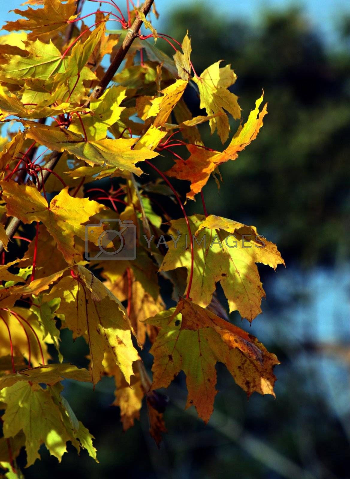 Dense maple leafs yellow in autumn