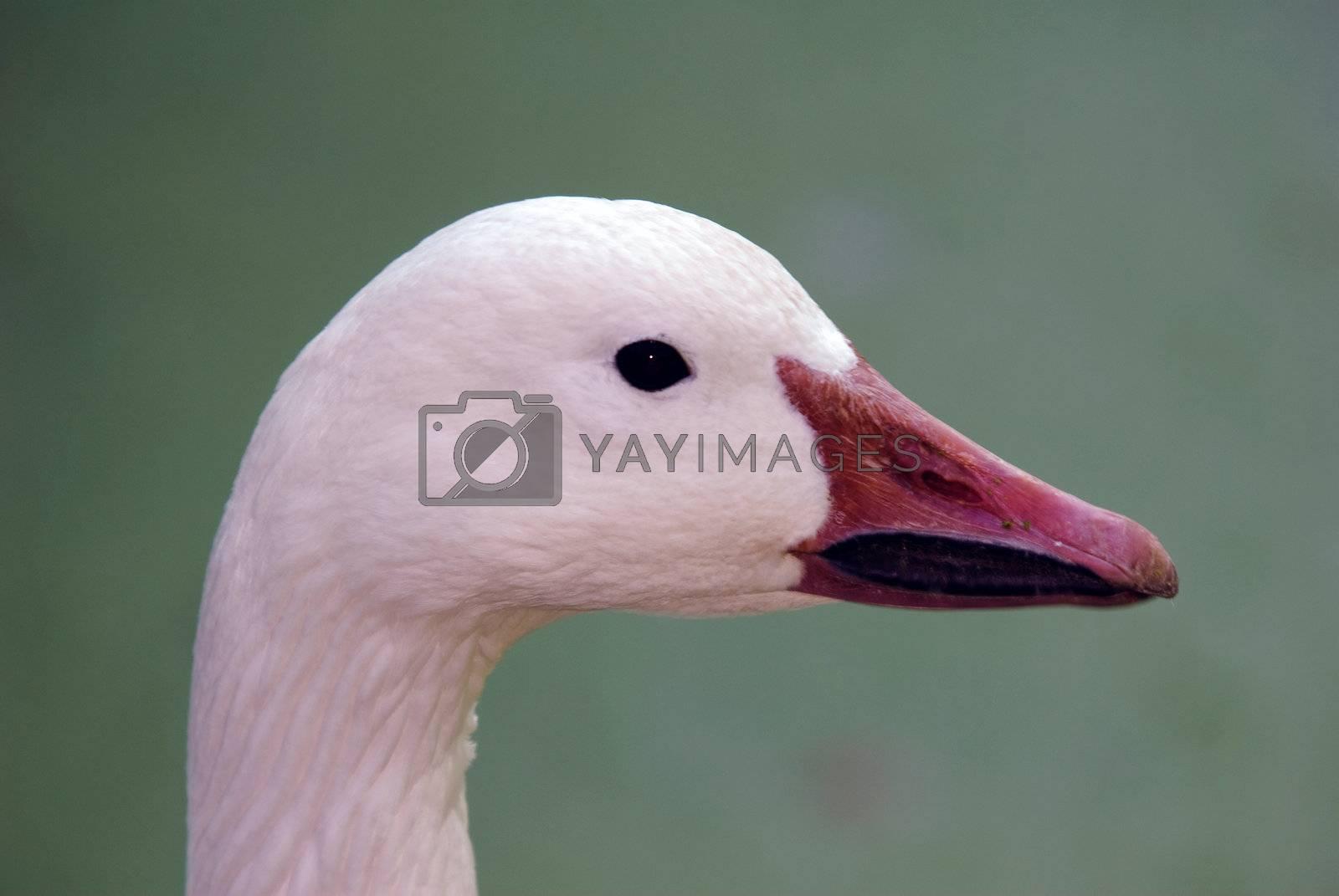 Royalty free image of Goose by nialat