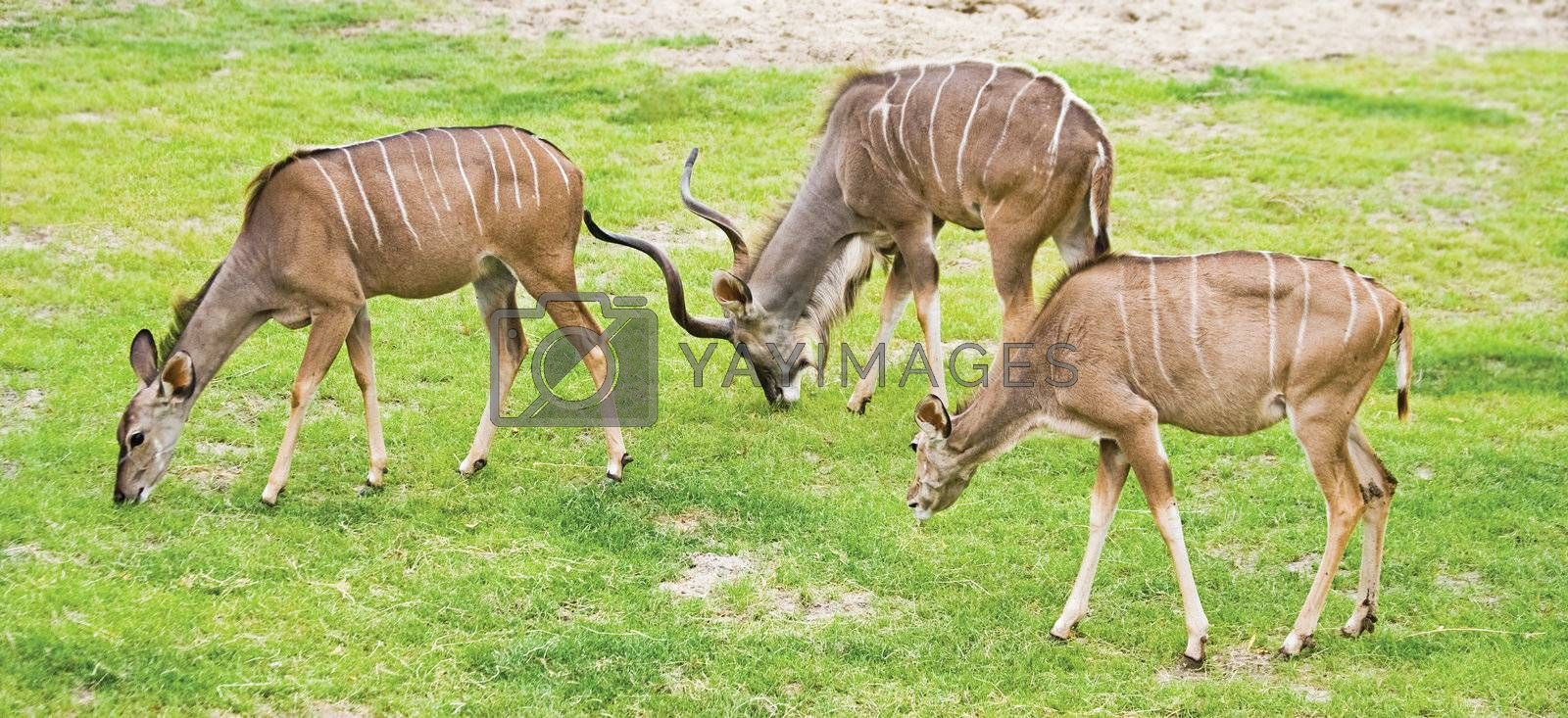 Group of Greater Kudus - Tragelaphus strepsiceros - grazing on field