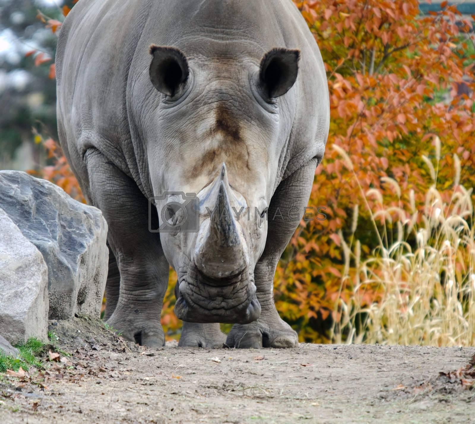 Royalty free image of Rhino by nialat