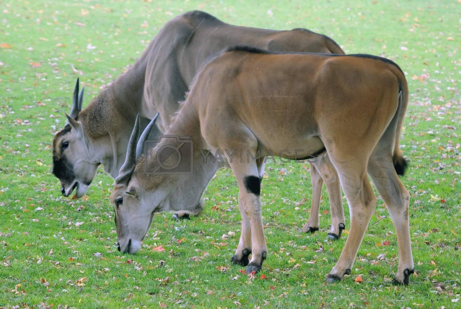 Royalty free image of Antelope by nialat