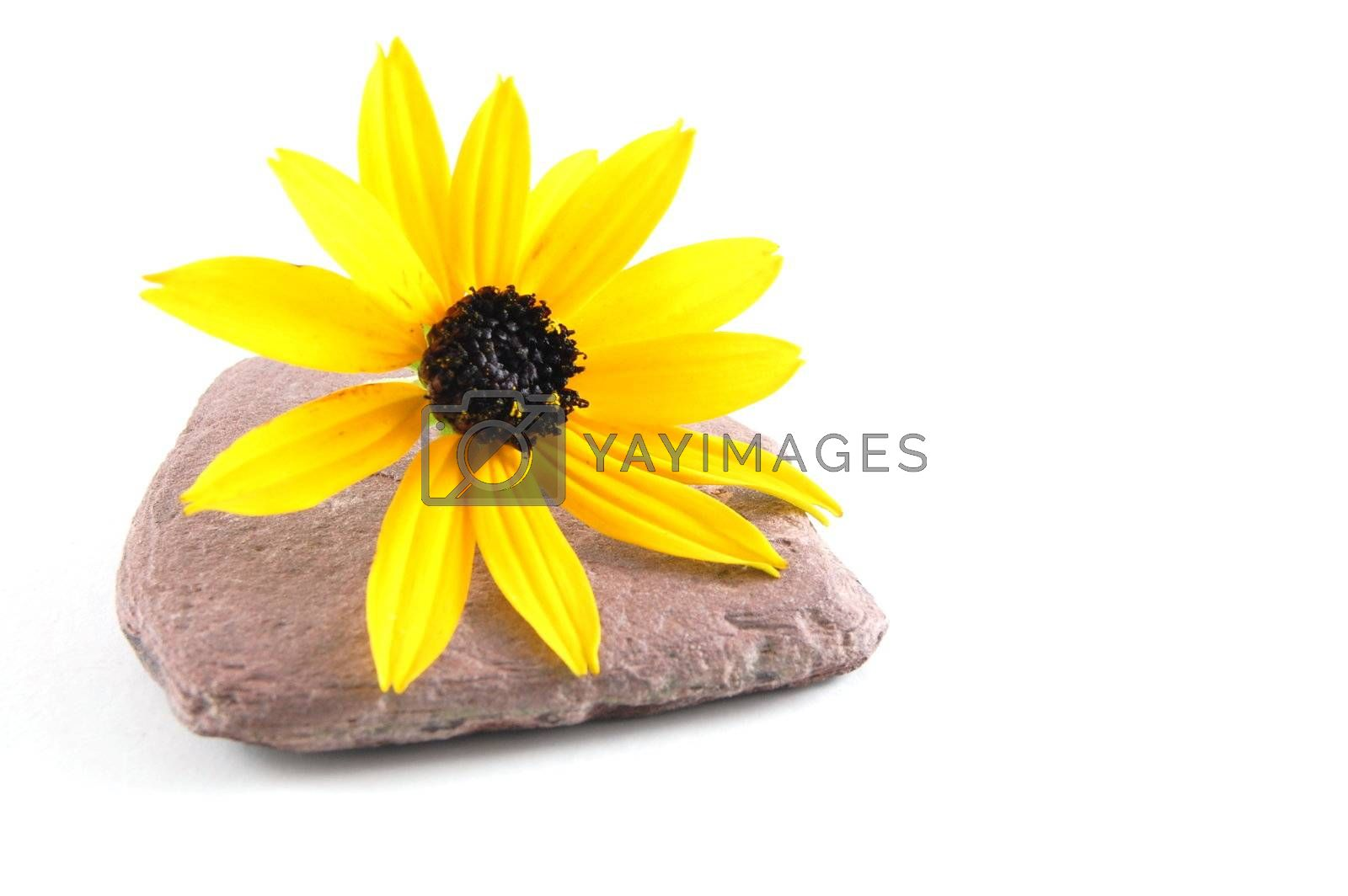 A flower isolated on a white background.