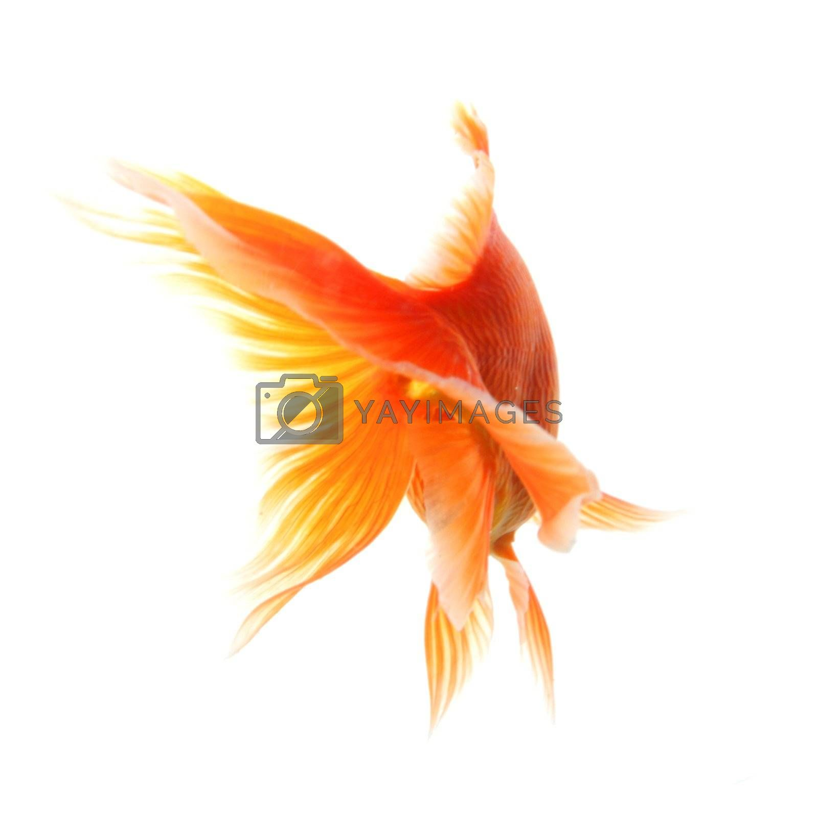 swimming single goldfish isolated on white showing lonelyness concept