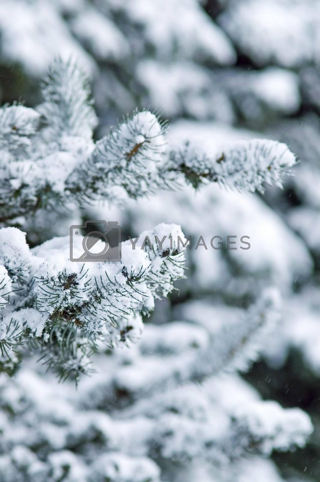 Fir Trees by simfan