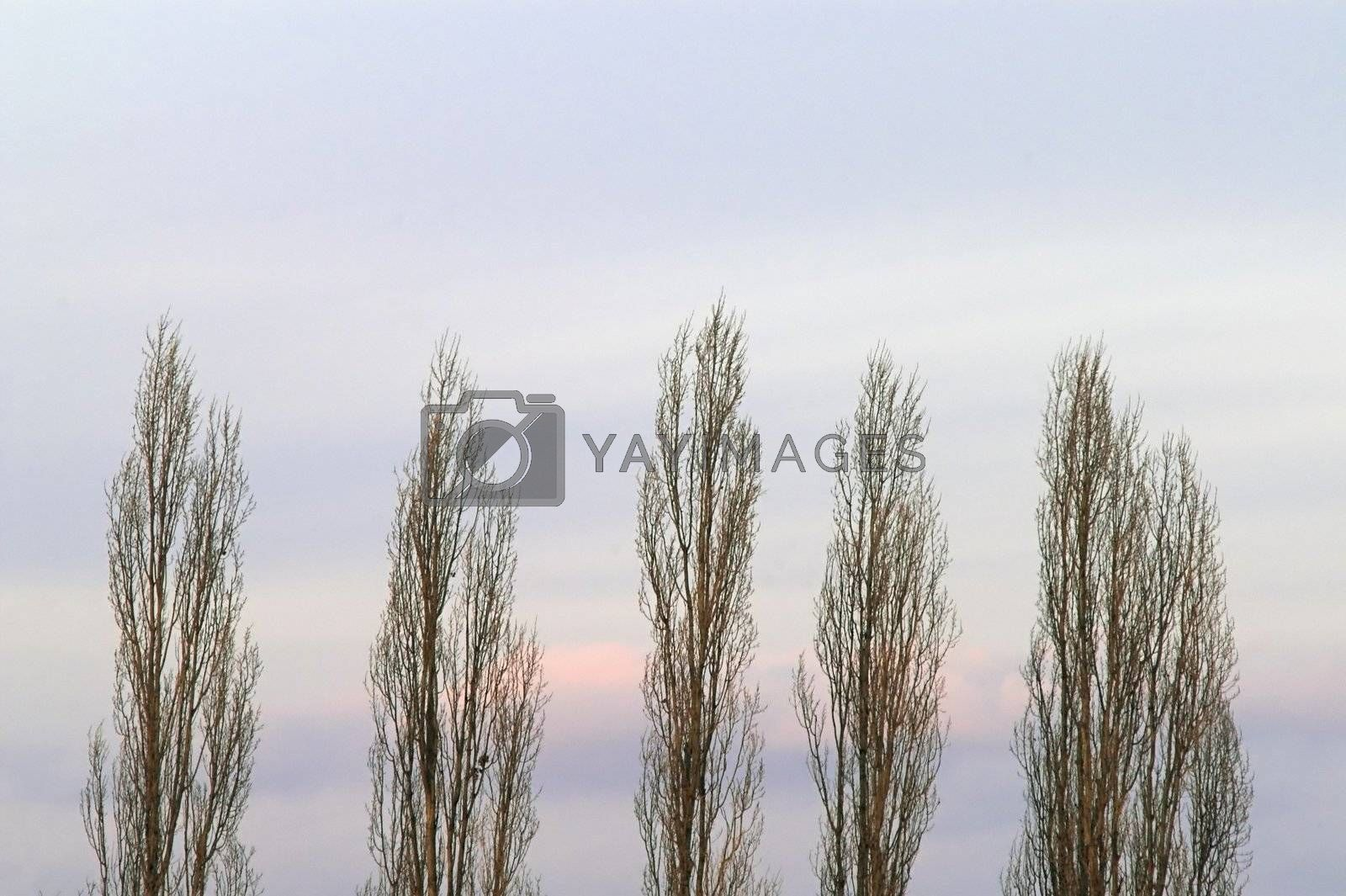 Poplar Trees on Evening Cloudy Sky