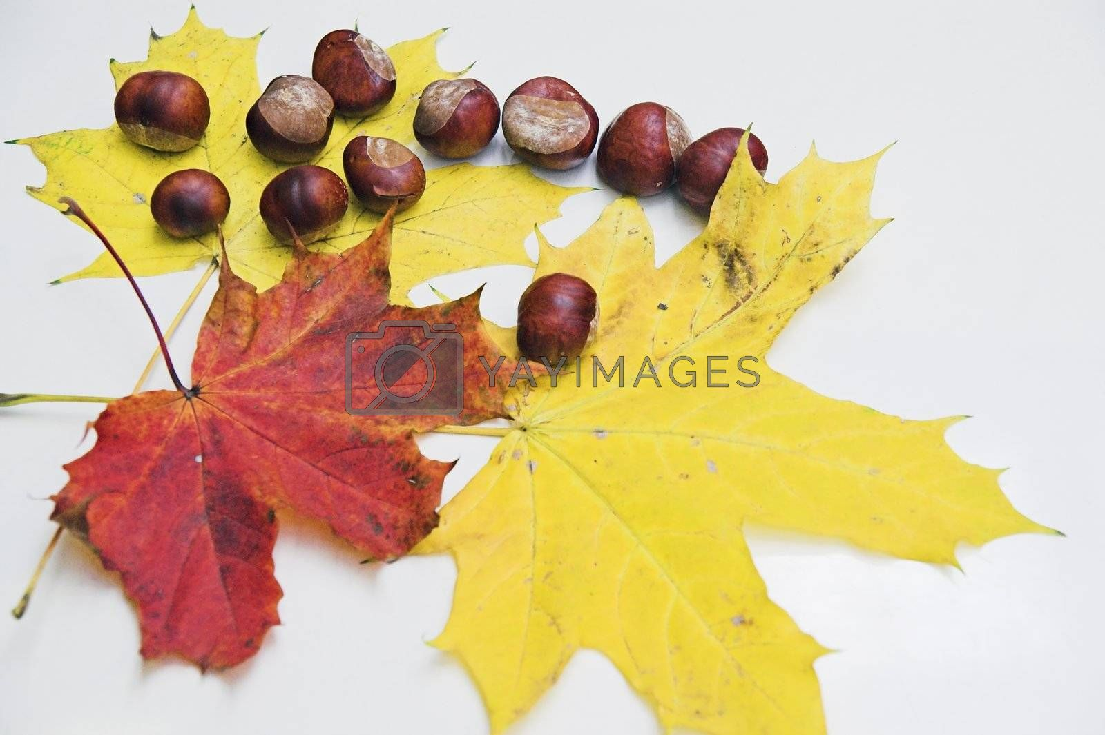 Autumn leaves and chestnuts on white background