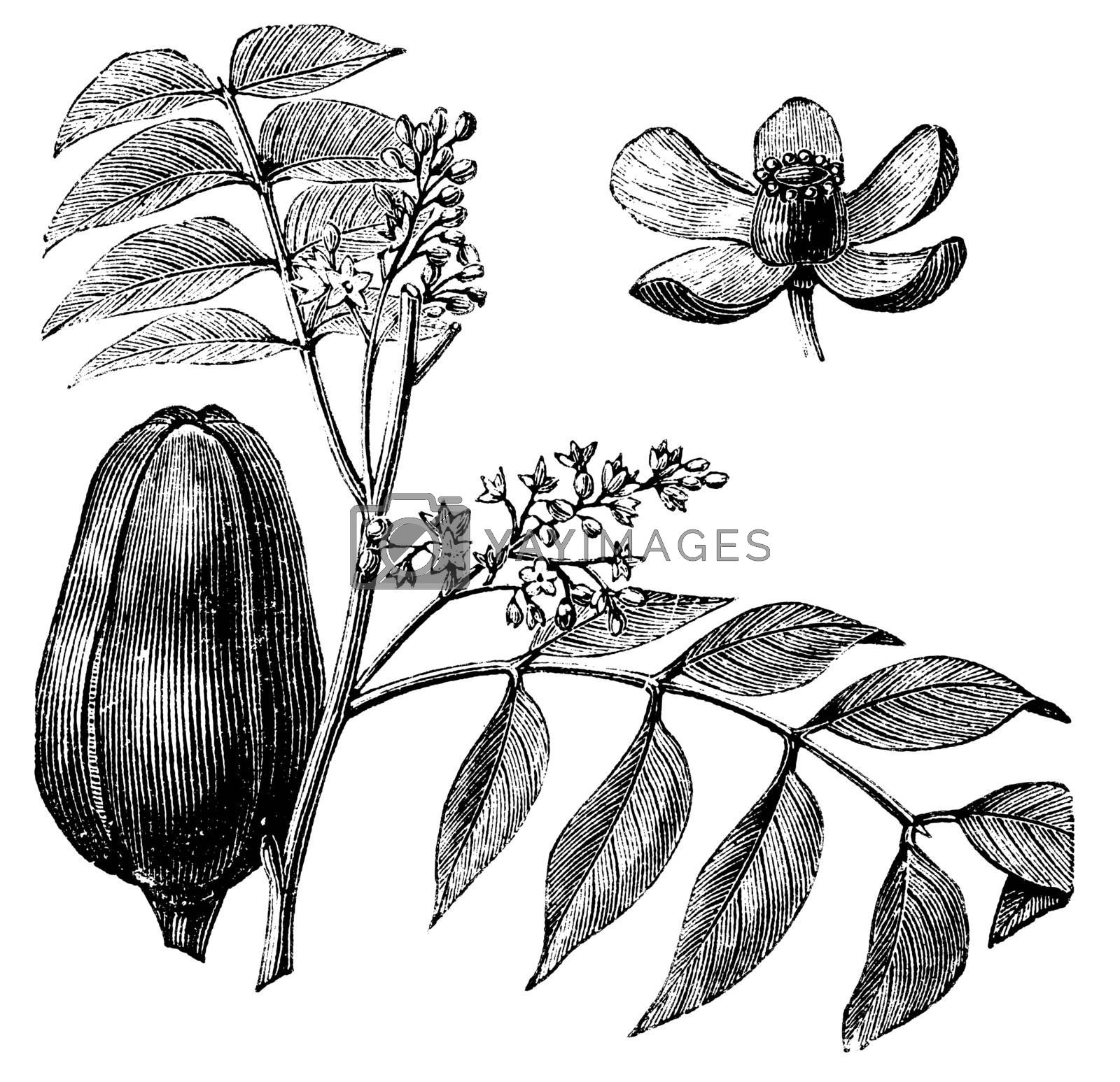 Mohagany or Meliaceae. Melia azedarach illustration. Also called Persian Lilac, White Cedar, Chinaberry, Texas Umbrella, Bead Tree, Lunumidella, Ceylon Cedar, malai vembu, Bakain and Dharek/Dhraik. Branch with close-up of the fruit and flower.