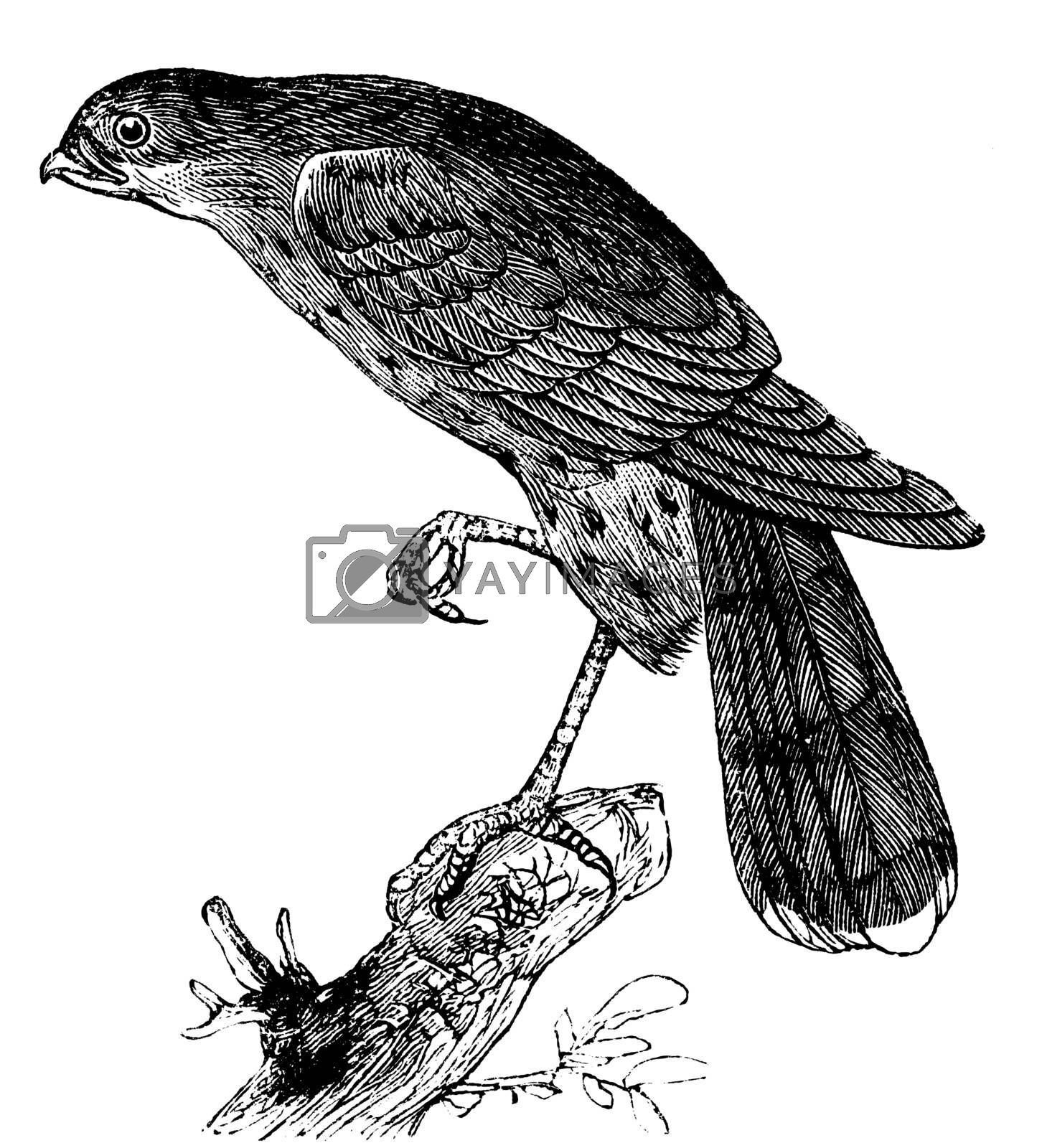 Sharp-shinned hawk or Accipiter fuscus bird vintage illustration. Also know as sharp-shins or sharpies or Accipiter Striatus. Old engraving.
