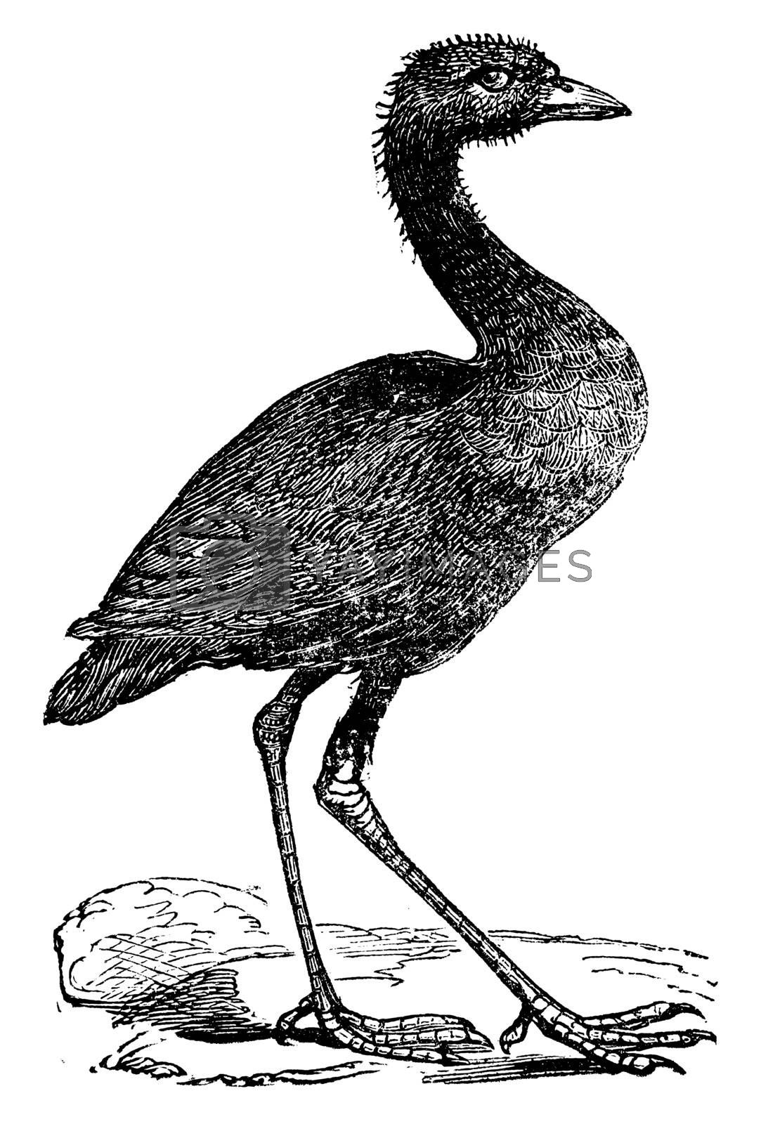 Grey-winged trumpeter or Psophia crepitans vintage engraving. Old engraved illustration of a grey-winged trumpeter watching. From the family of Psophiidae.