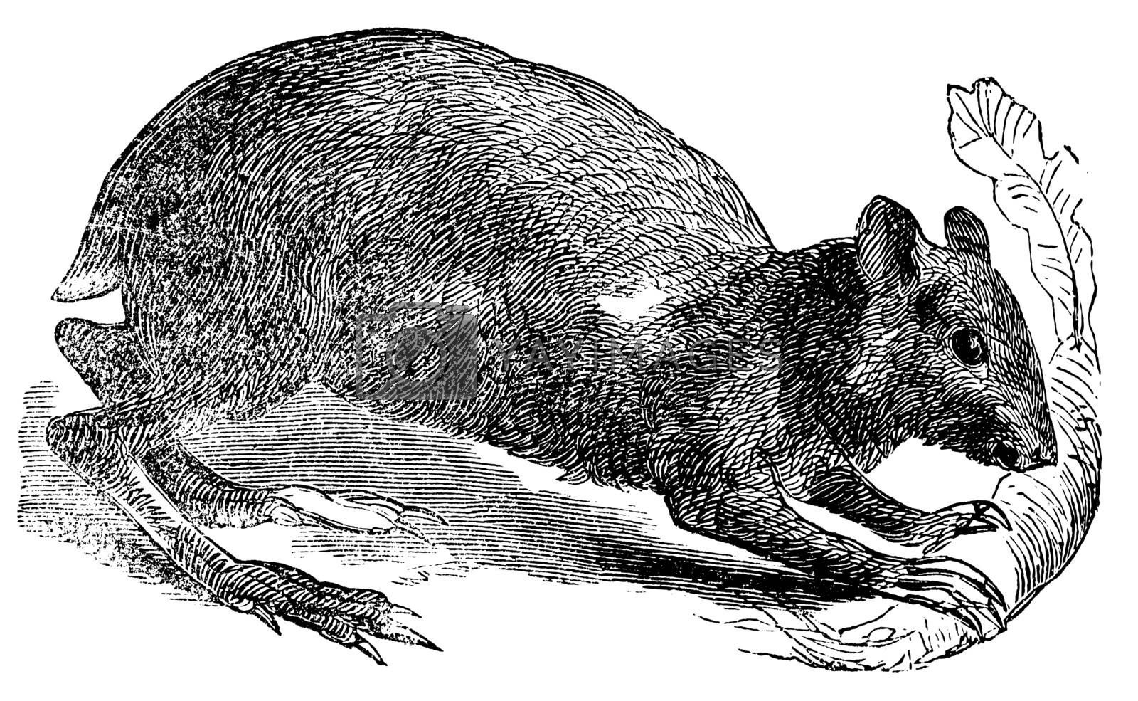 Agouti or Dasyprocta agouti engraving. Old engraved illustration of an agouti rodent eating a leaf. They are related to guinea pigs and look quite similar but have longer legs.