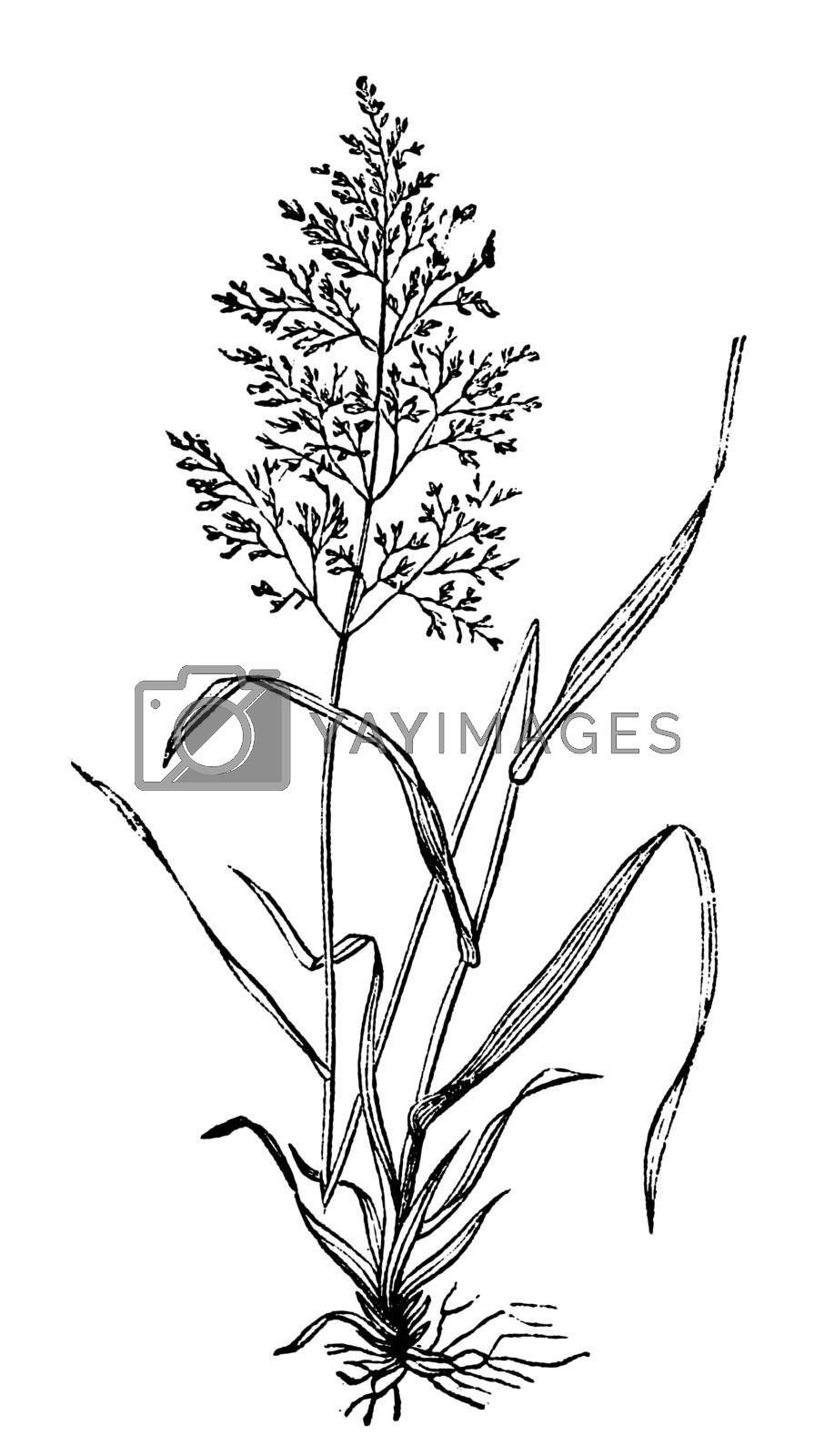 Redtop or Browntop grass, or Agnostis vulgaris or Capillaris engraving. Old engraved illustration of common grass, also called Common Bent and Colonial bent. Widely used as pasture.