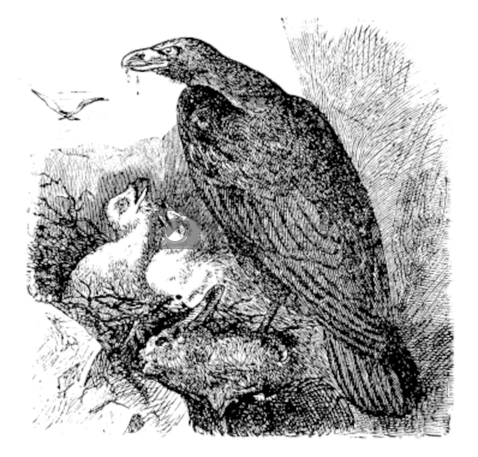 Golden eagle or Aquila chrysaetos vintage engraving, vector. Old engraved illustration of a golden eagle feeding her babies in her nest.