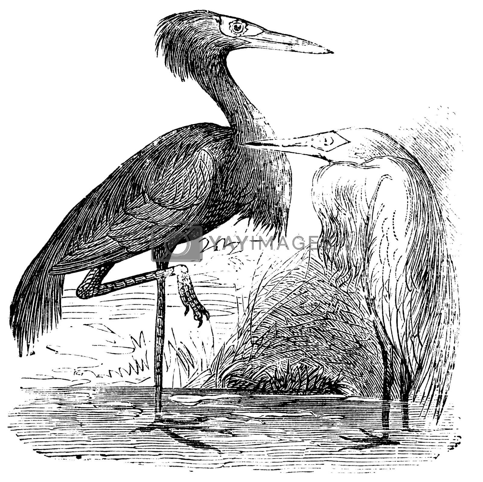 Engraving of a Reddish Egret (ardea rufa or Egretta rufescens). Old vintage engraved illustration of the reddish egret or heron in his environment.