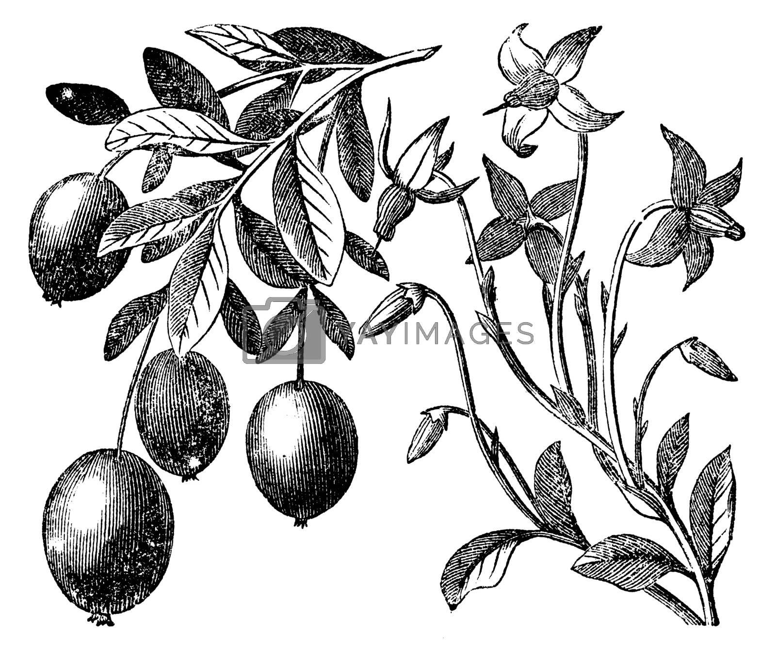 Cranberry vintage engraving. Old antique engraved illustration of cranberry plant.