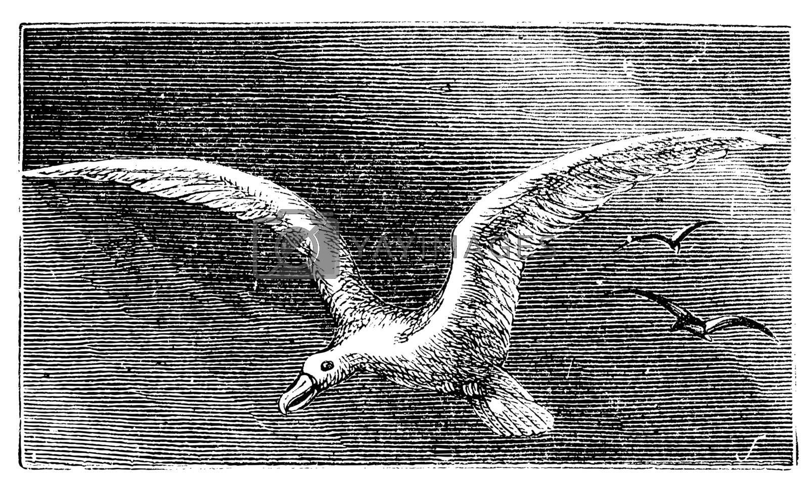 Wandering albastross, Snowy albatross, white-winged albatross or diomedea exulans engraving. Old vintage illustration of flying wandering albastross.