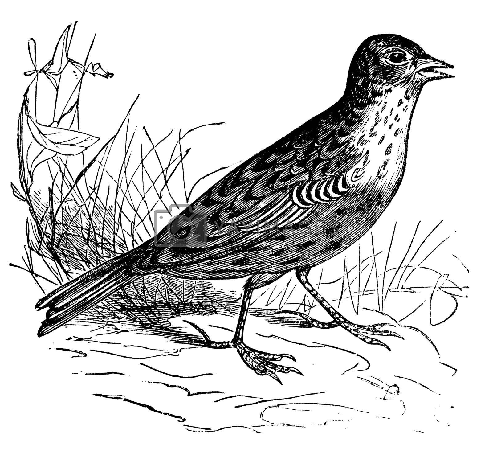 Skylark or Alauda arvensis vintage engraving. Old engraved illustration of a skylark bird in his environment.