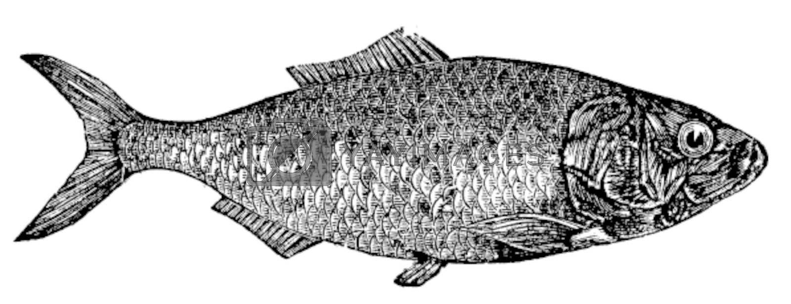 Shad, river herring  or Alosa menhaden vintage engraving.. Old engraved illustration of a shad fish, in vector, isolated against a white background.
