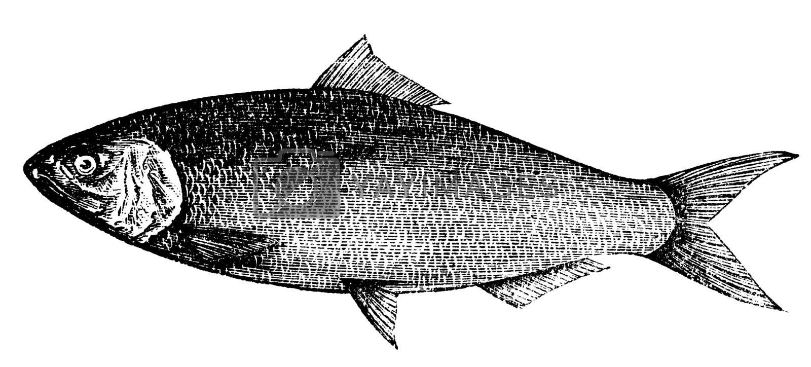 American Shad, Atlantic Shad, Alosa praestabilis or alosa sapidissima vintage engraving. Old engraved illustration of an american shad fish, in vector, isolated against a white background.