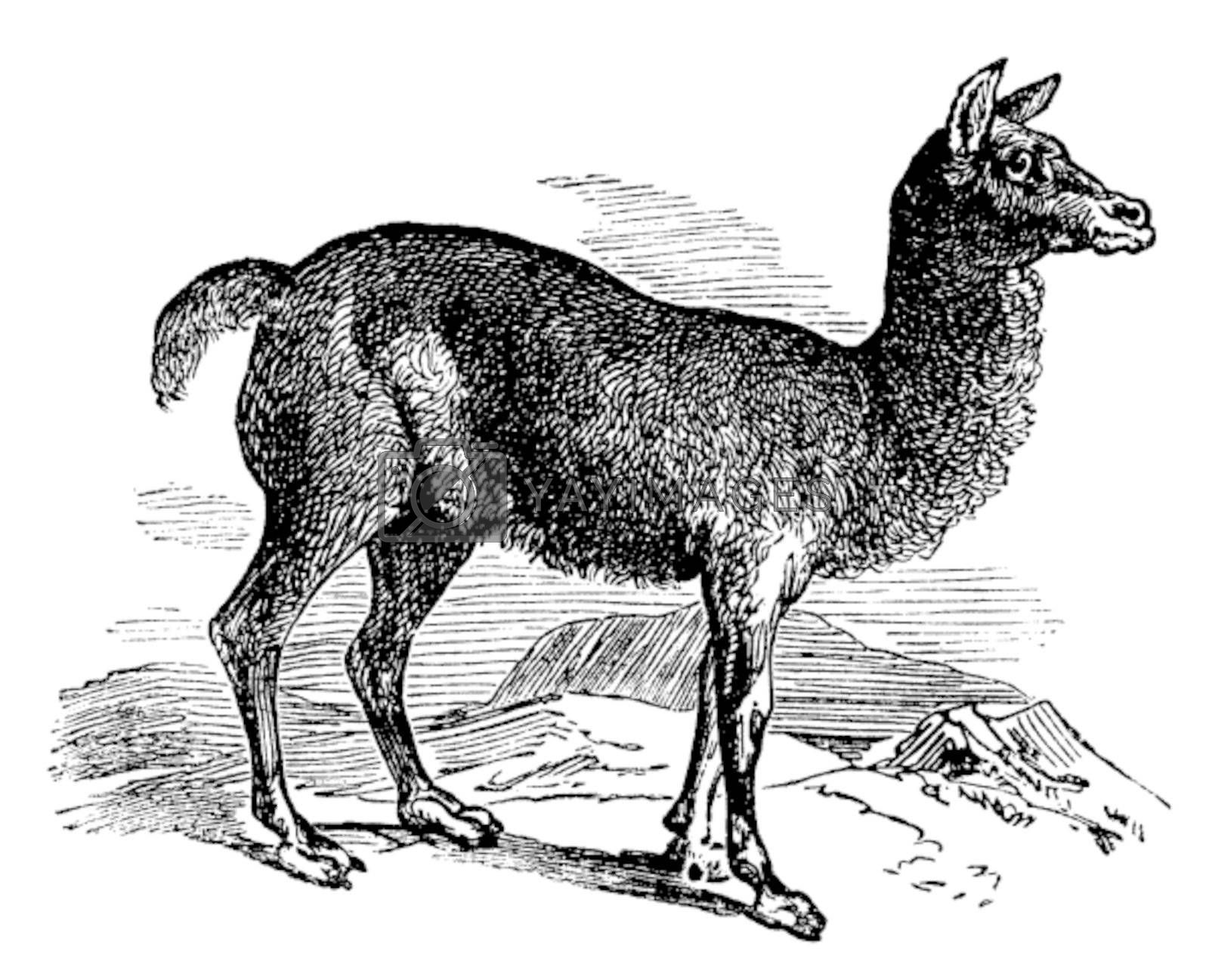 Alpaca or Vicugna pacos vintage engraving. Old engraved illustration of a horned lark bird in his environment.