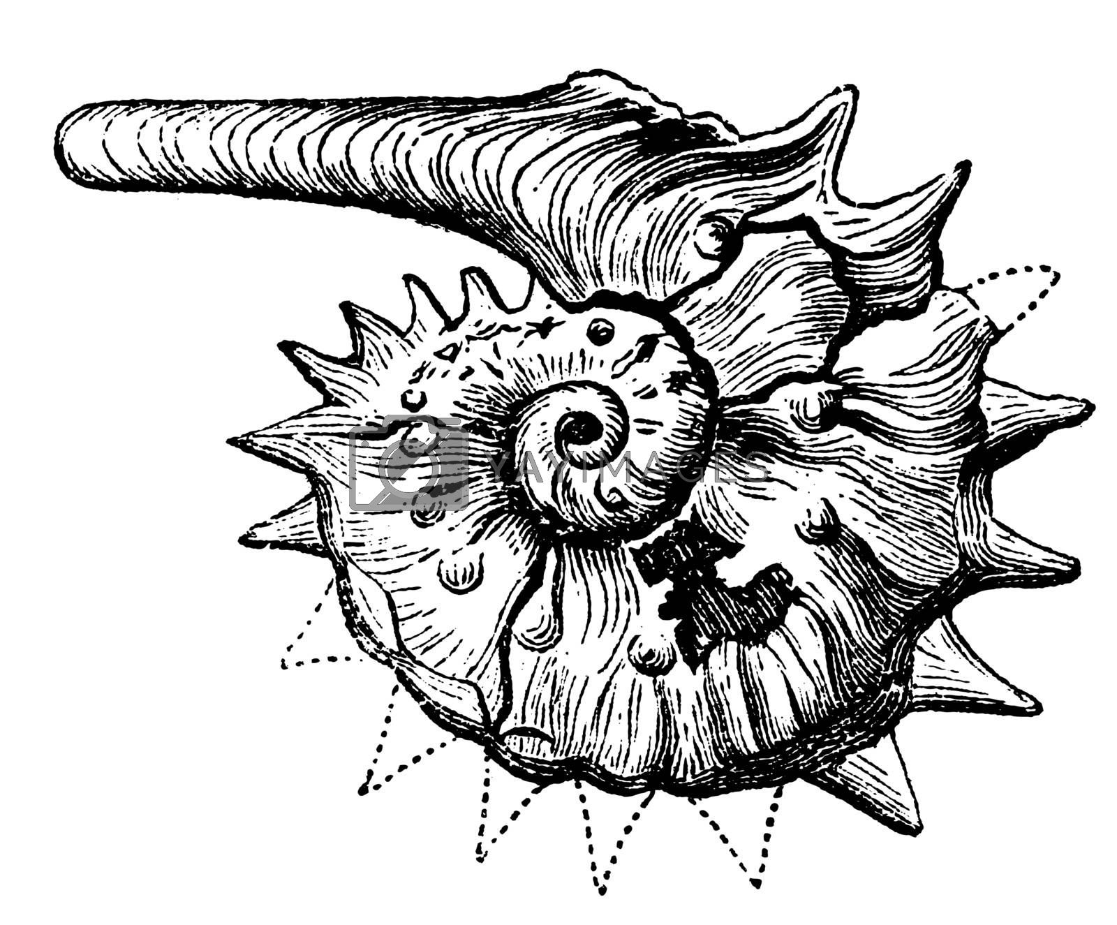 Ammonite fossil vintage engraving. Extinct group of marine invertebrate, similar to the Nautilius. Vector illustration, isolated cut-out.