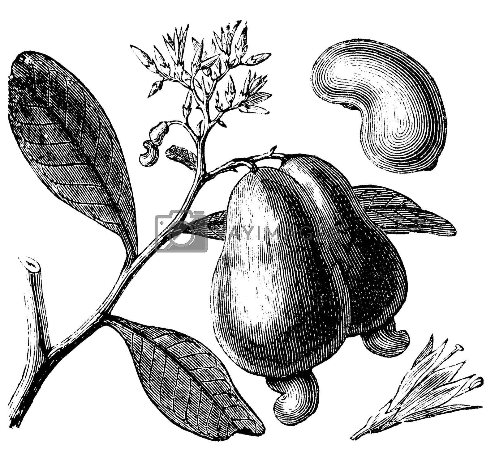 Cashew or Anacardium occidentale tree, apple and nuts vintage engraving. Old engraved illustration of caju tree, in vector, isolated against a white background.