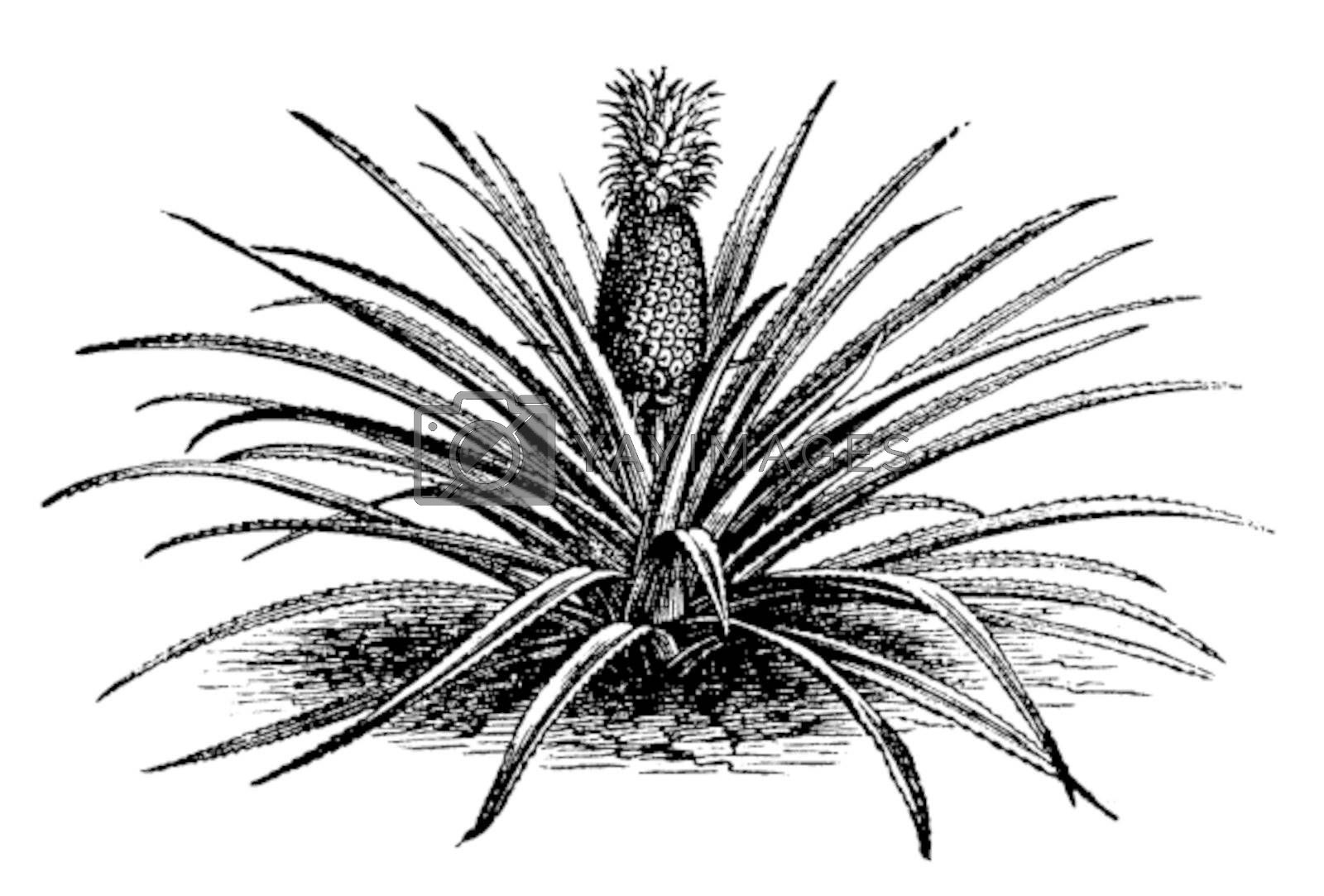 Pineapple, ananassa sativa or ananas comosus old vintage engraving. Full pineapple plant with stems, in vector, engraved illustration.