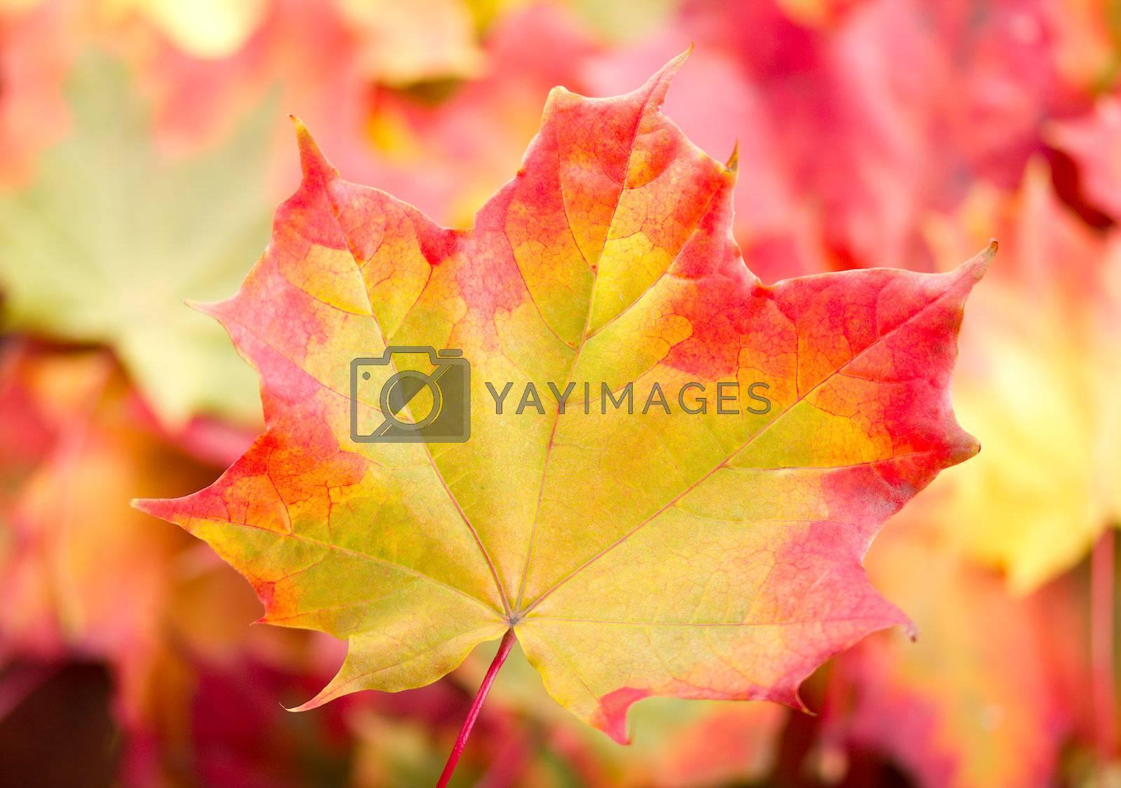 autumn maple leaf by Alekcey