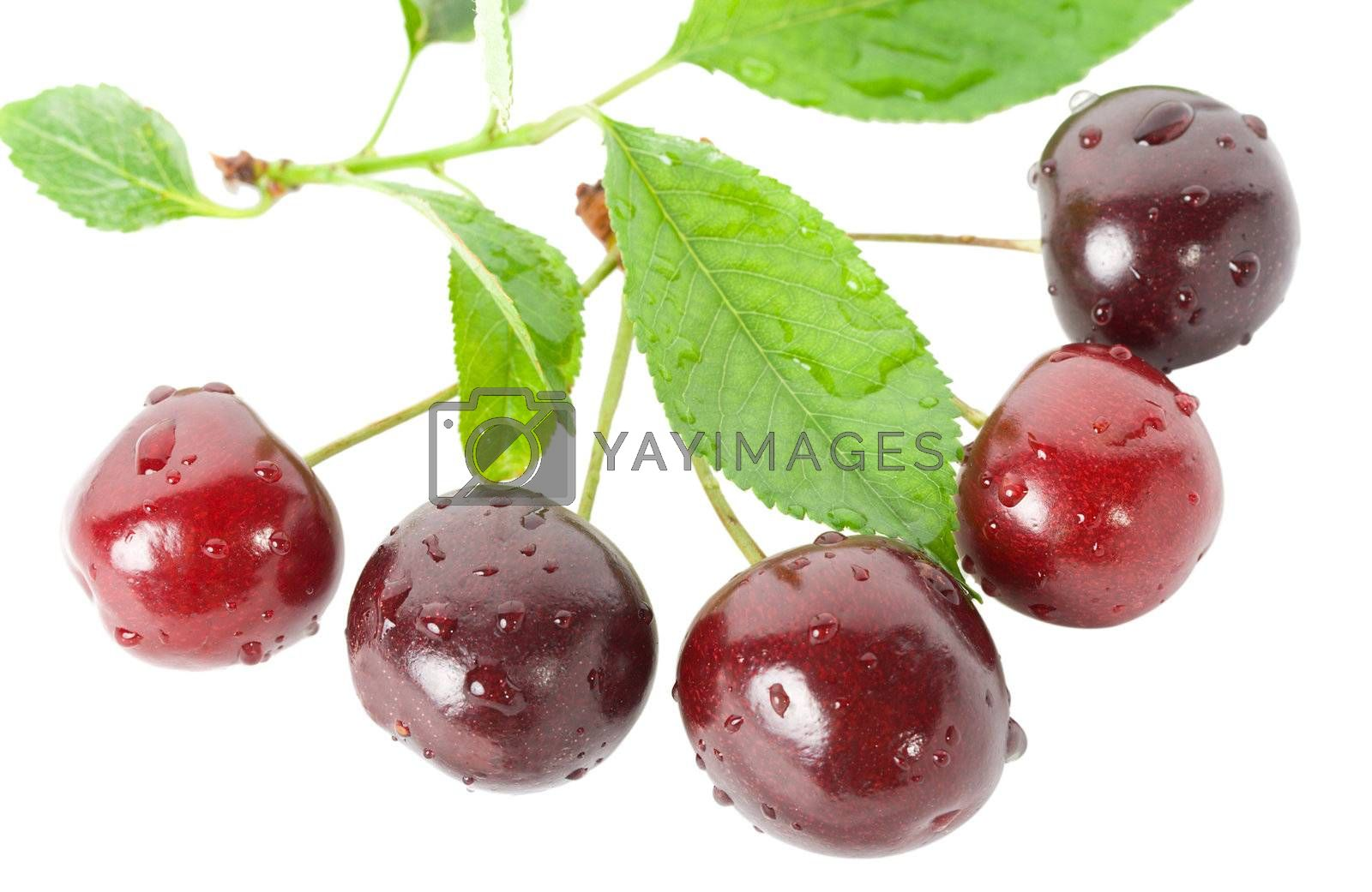 ripe cherries with leaves, isolated on white