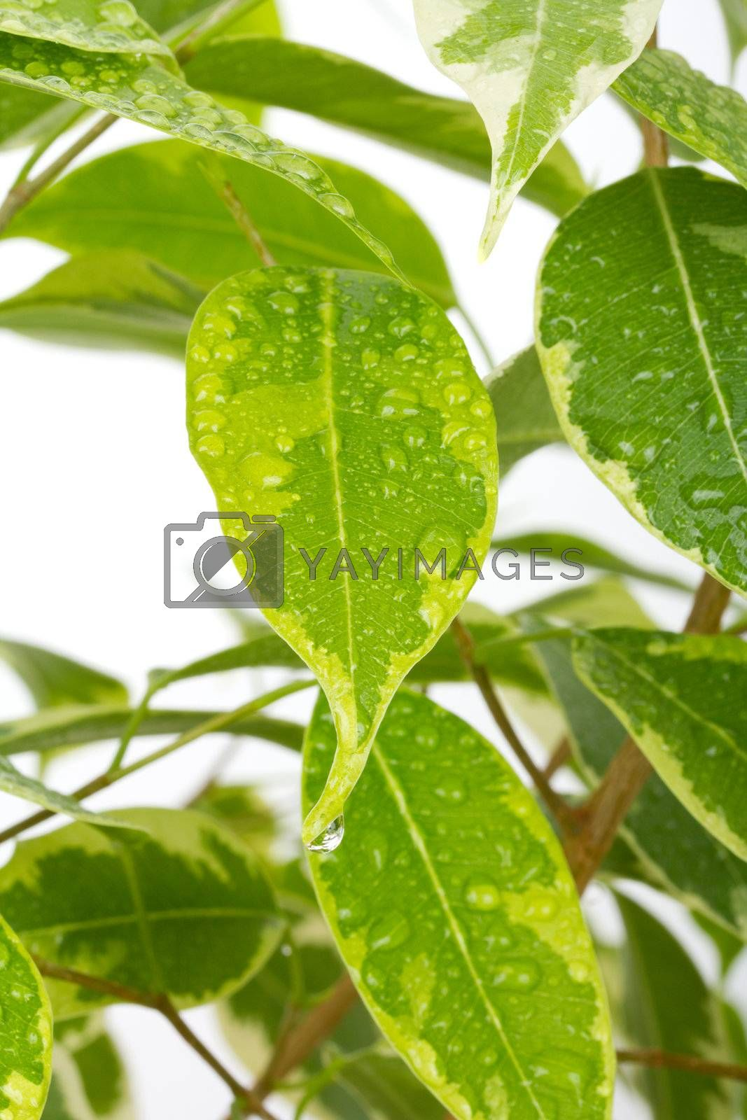 ficus leaves with drops of water by Alekcey