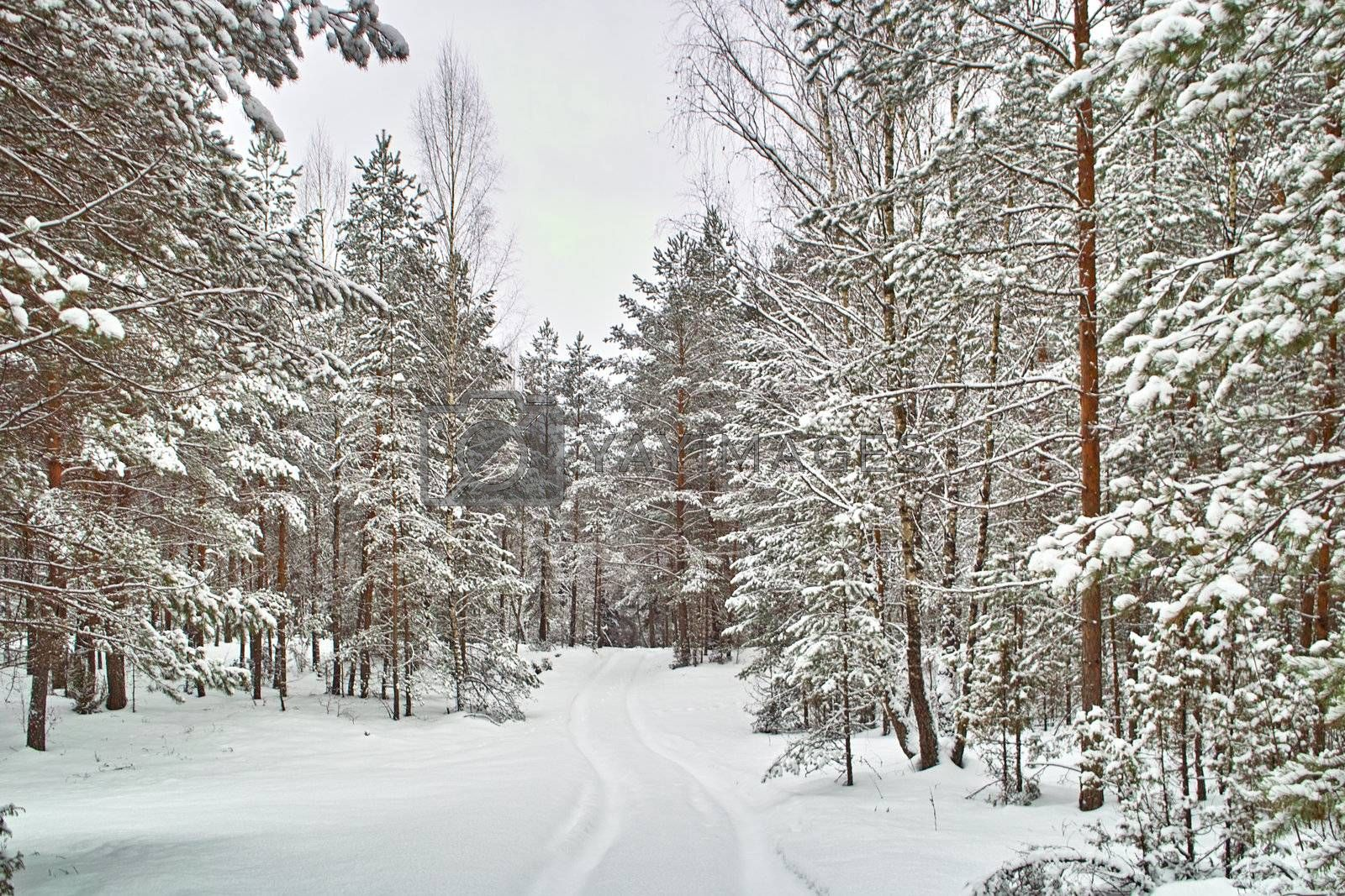road in winter coniferous forest