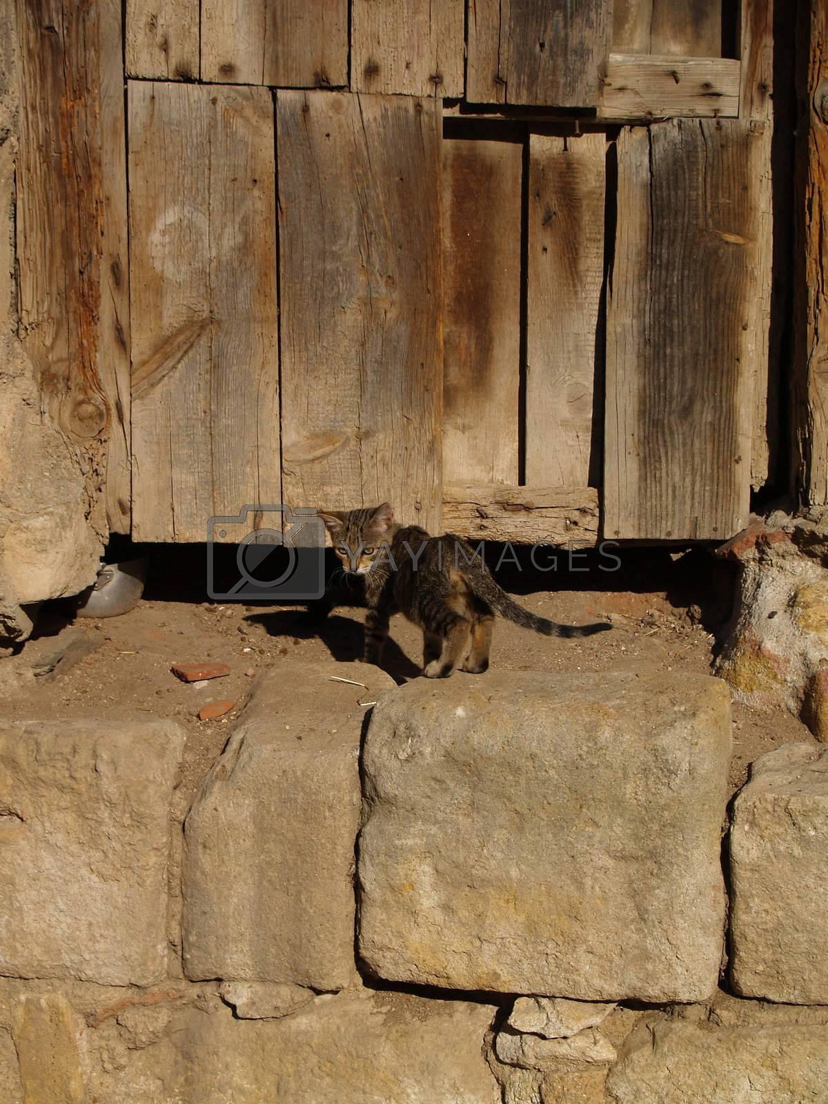 Cat in front of an old door.