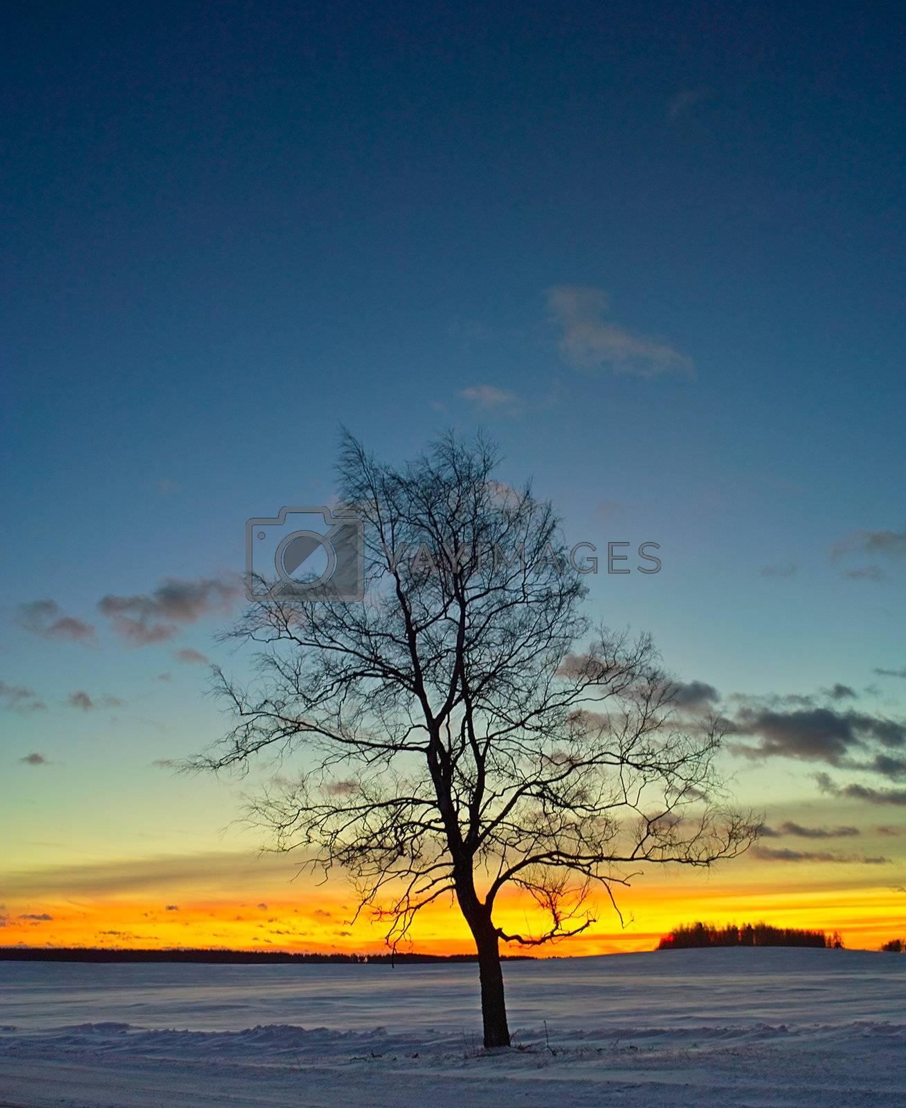 birch tree silhouette at orange winter sunrise