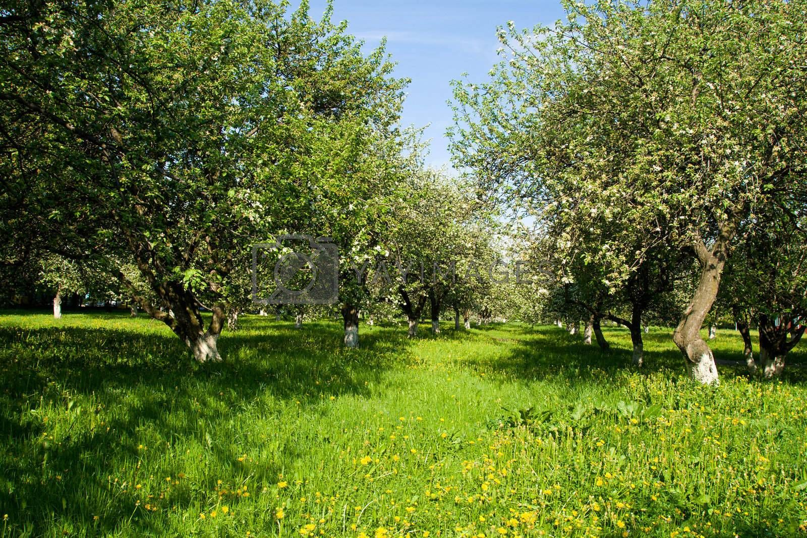 blossoming green apple orchard trees in spring