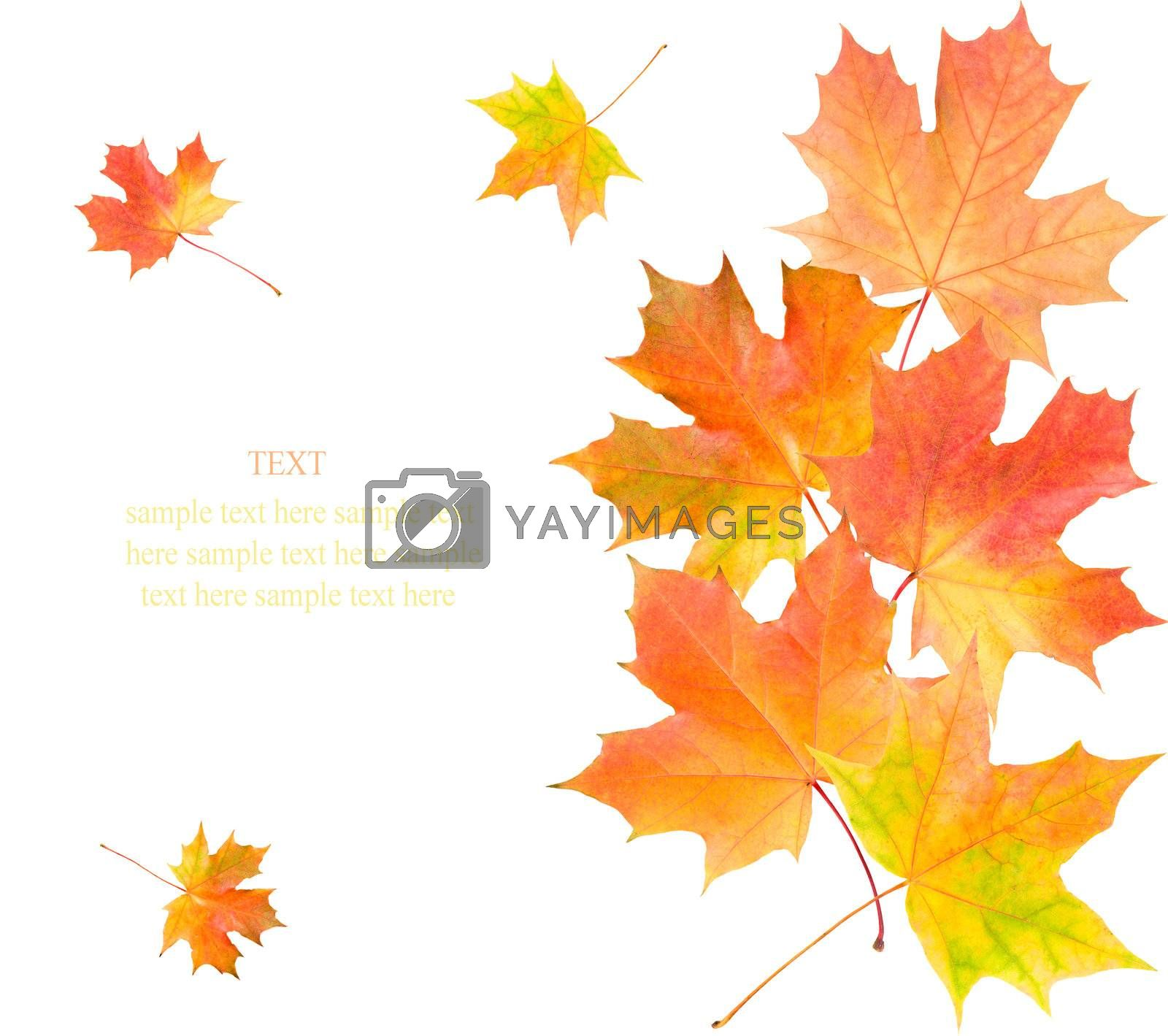 maple leaves background by Alekcey