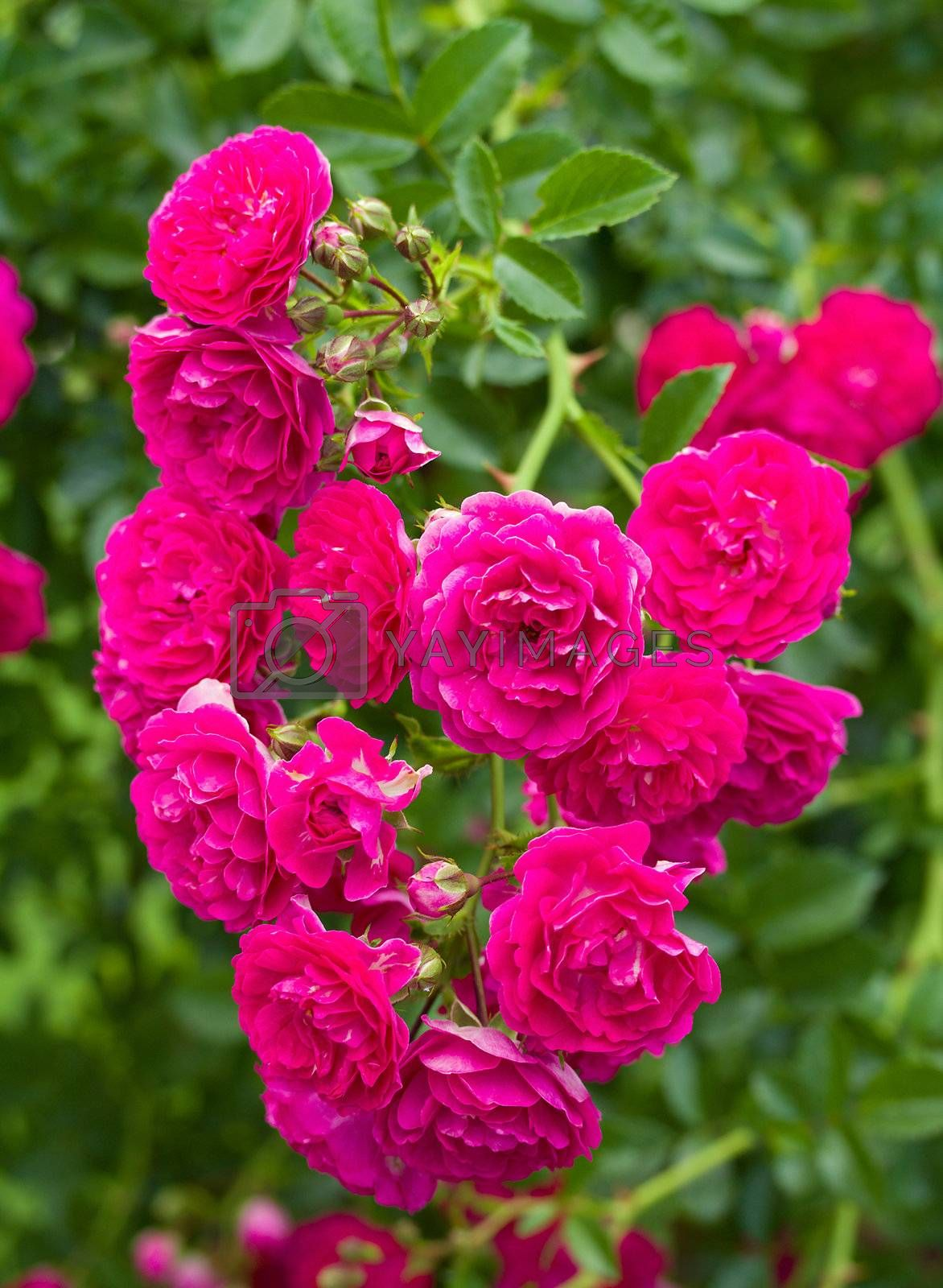 branch of beautiful pink roses as heart against green background