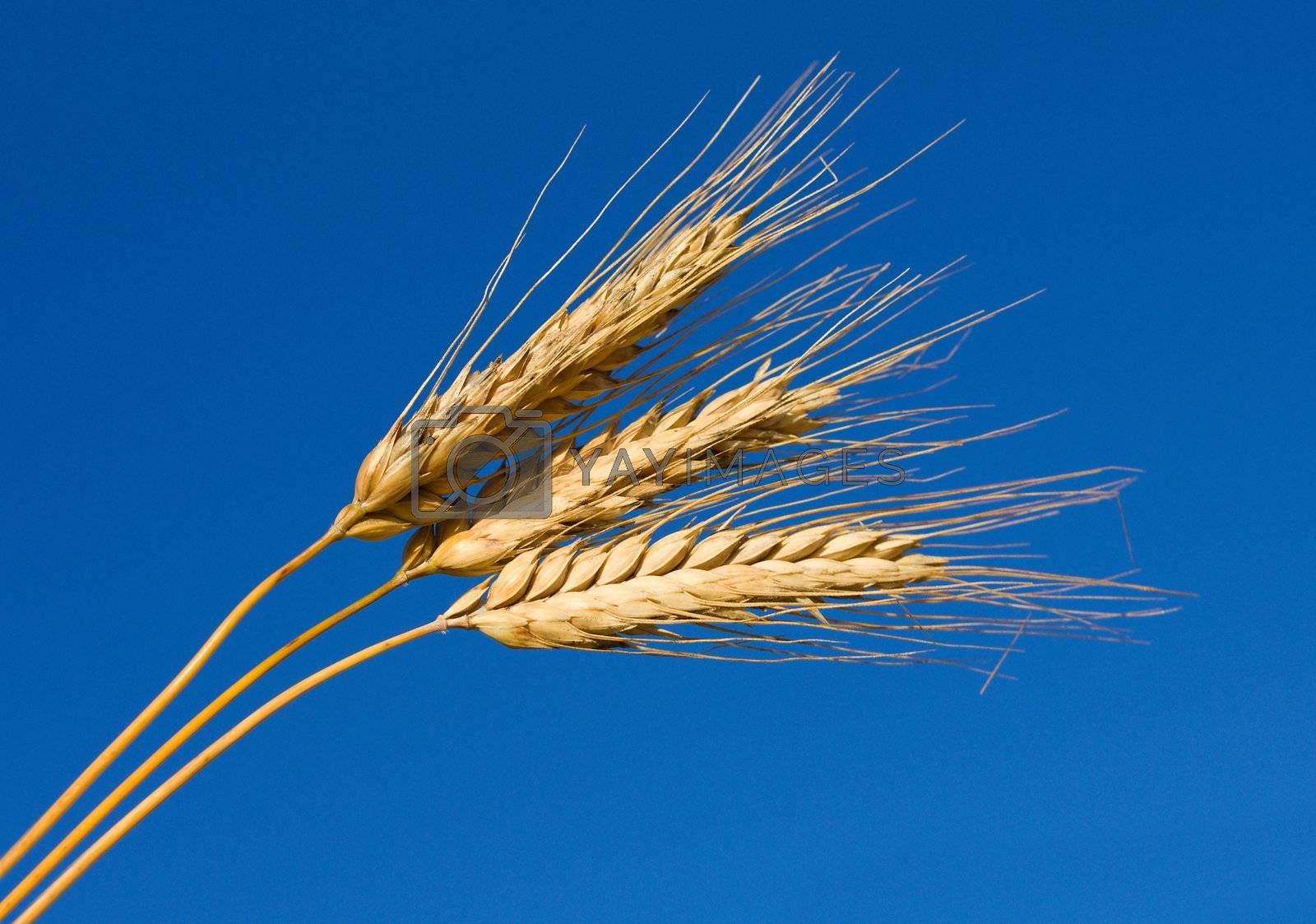 close-up ears of wheat against blue sky