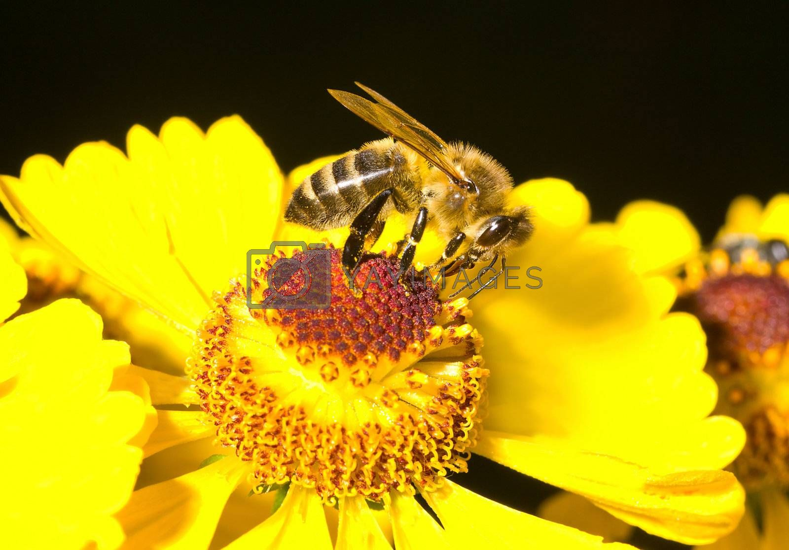close-up honey bee on yellow flower