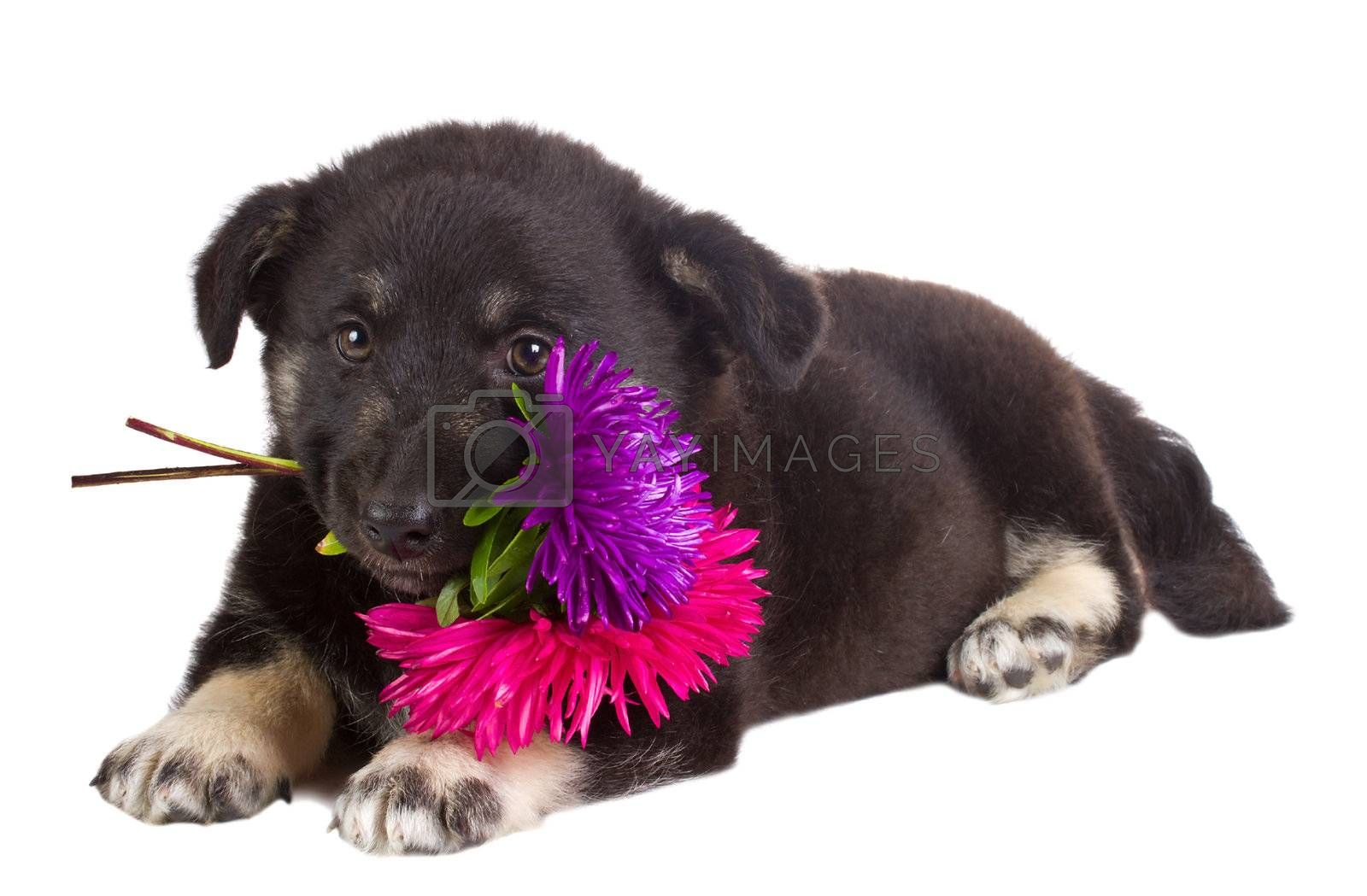 close-up puppy holding flowers, isolated on white