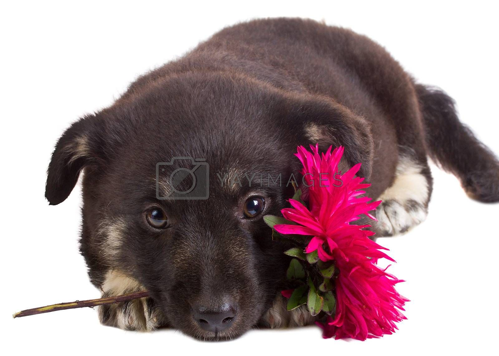 close-up puppy holding flower, isolated on white
