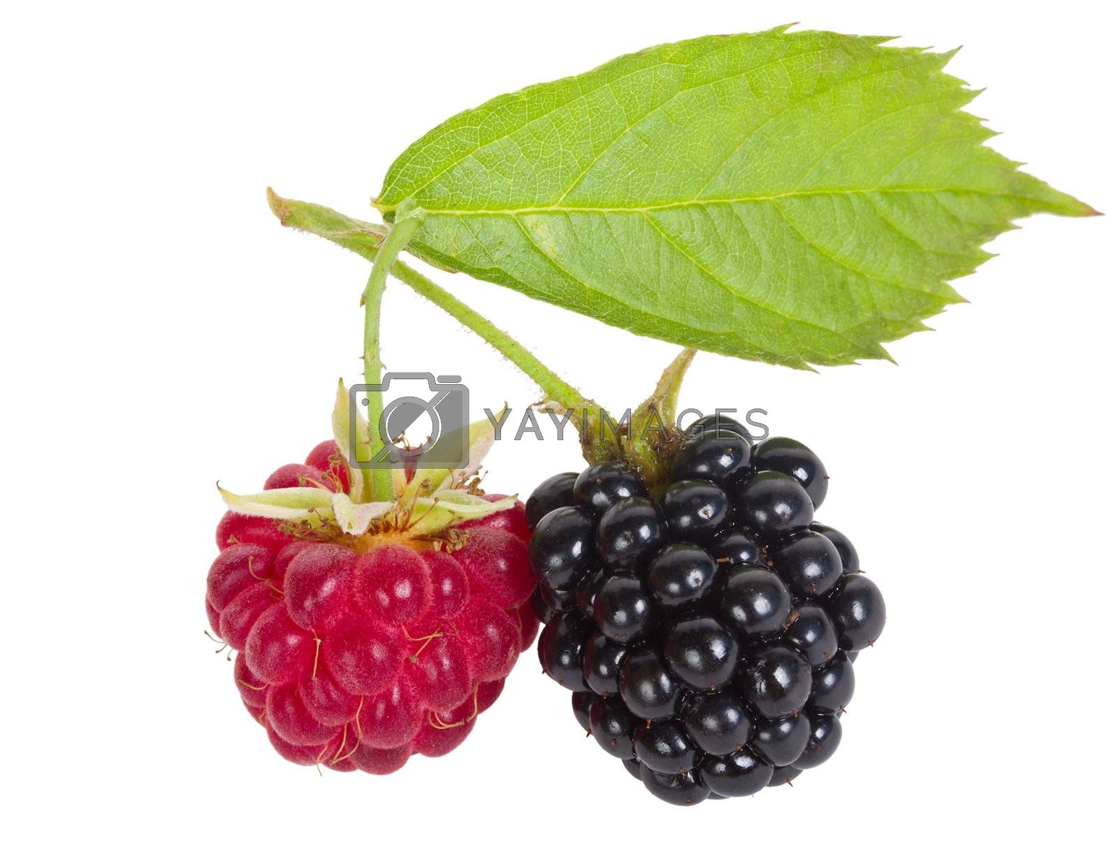 close-up raspberry and blackberry, isolated on white