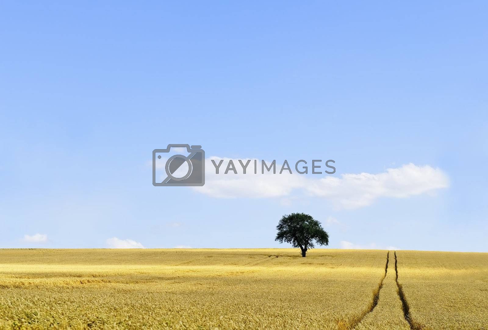 an isolated tree in a cornfield