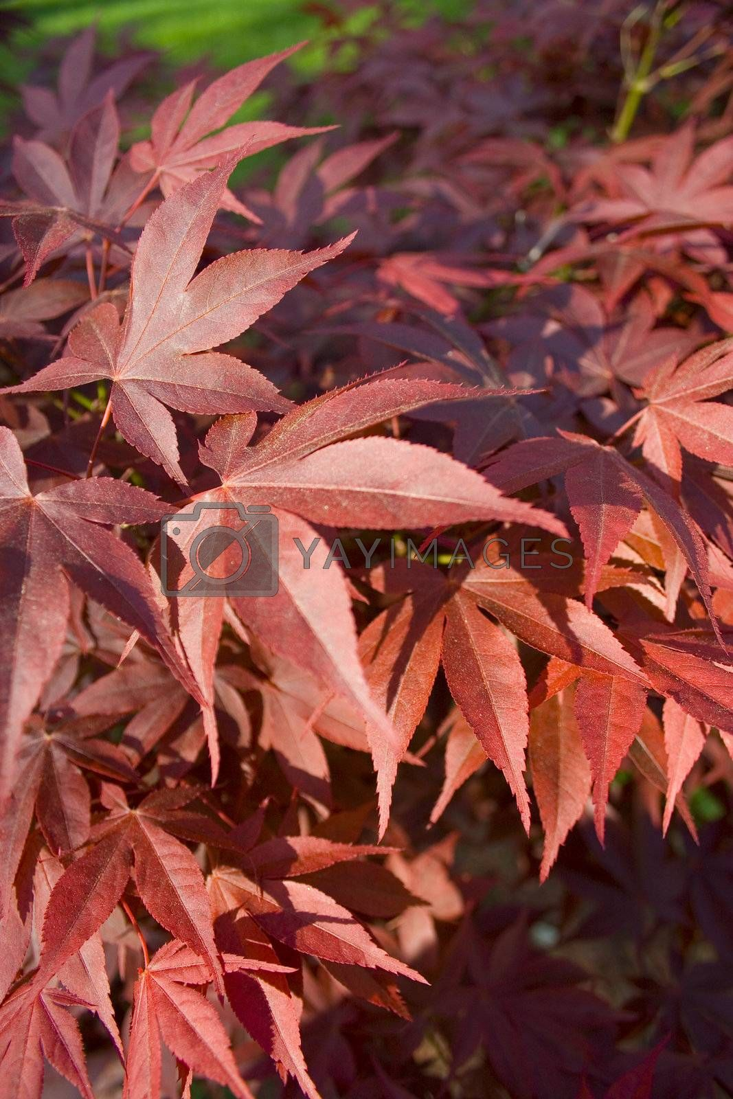 A closeup shot of red maple leaves on a red maple leaf tree.