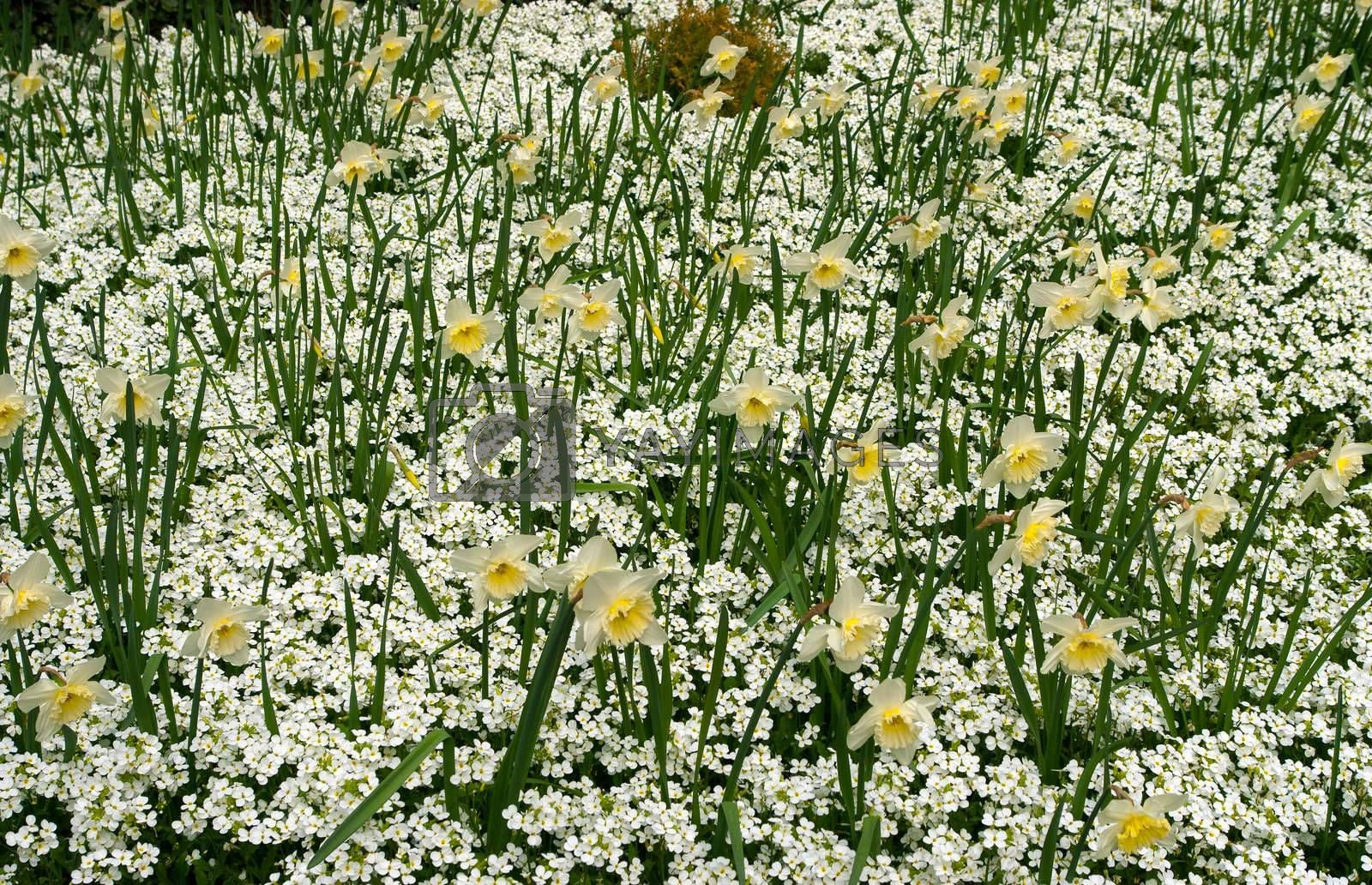 The blooming narcissus on a flower carpet