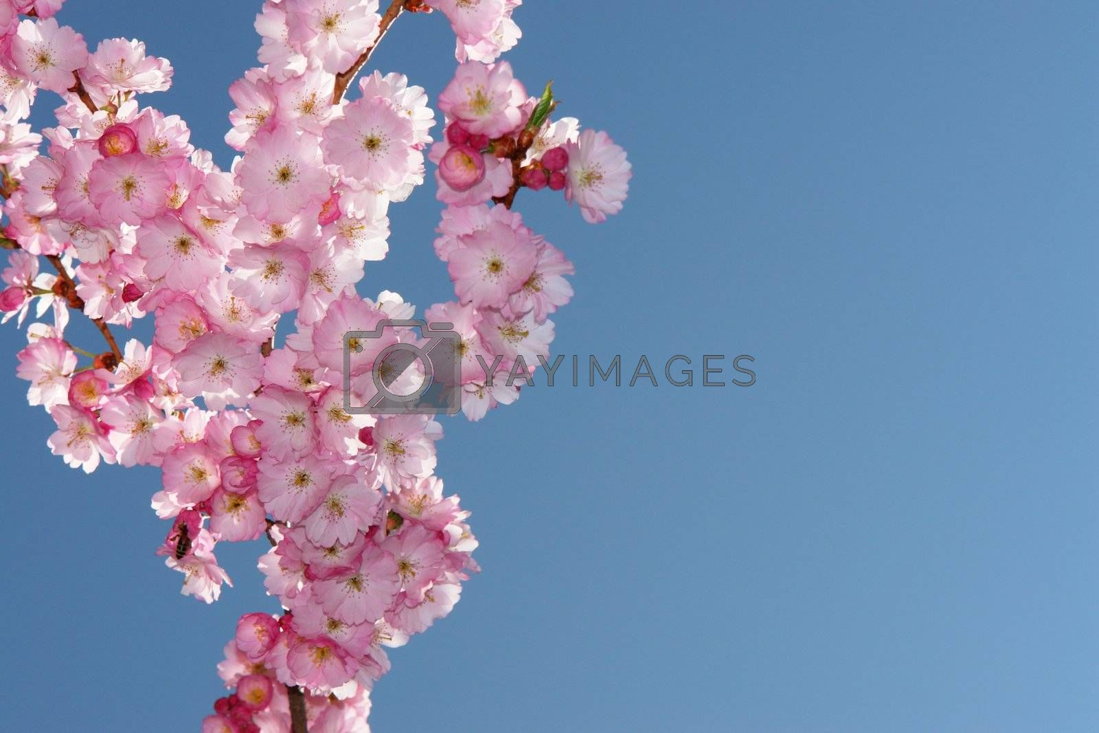 Royalty free image of pinktree by yucas