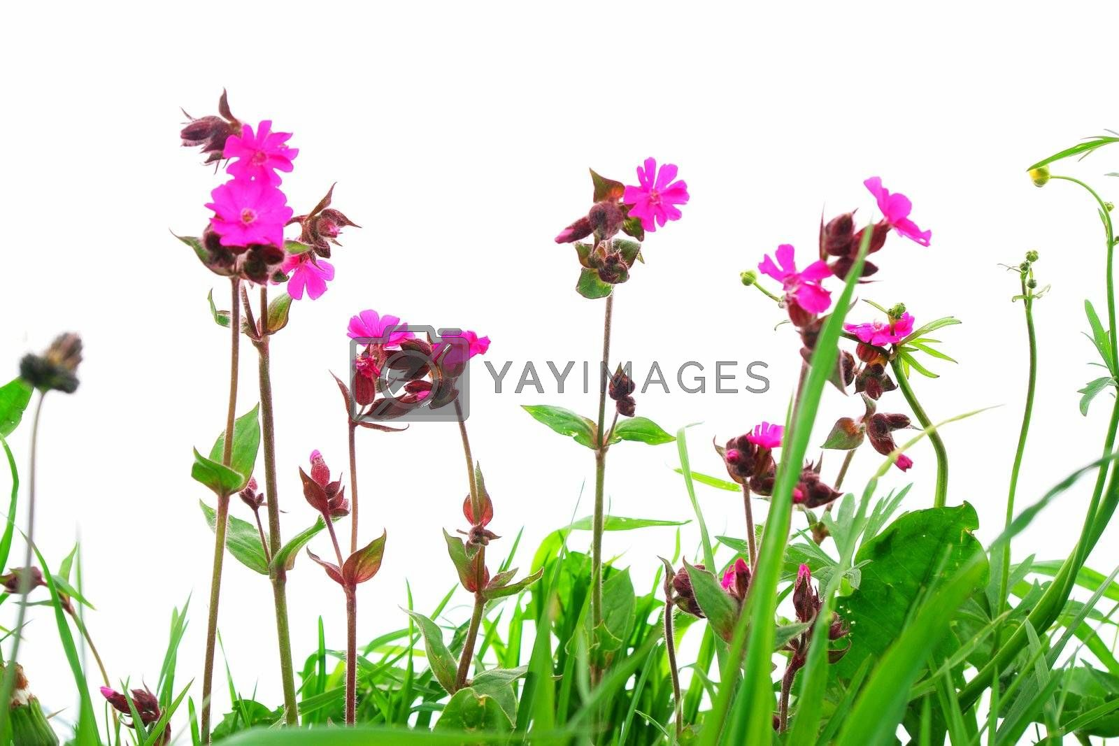 Royalty free image of Flower Field by yucas