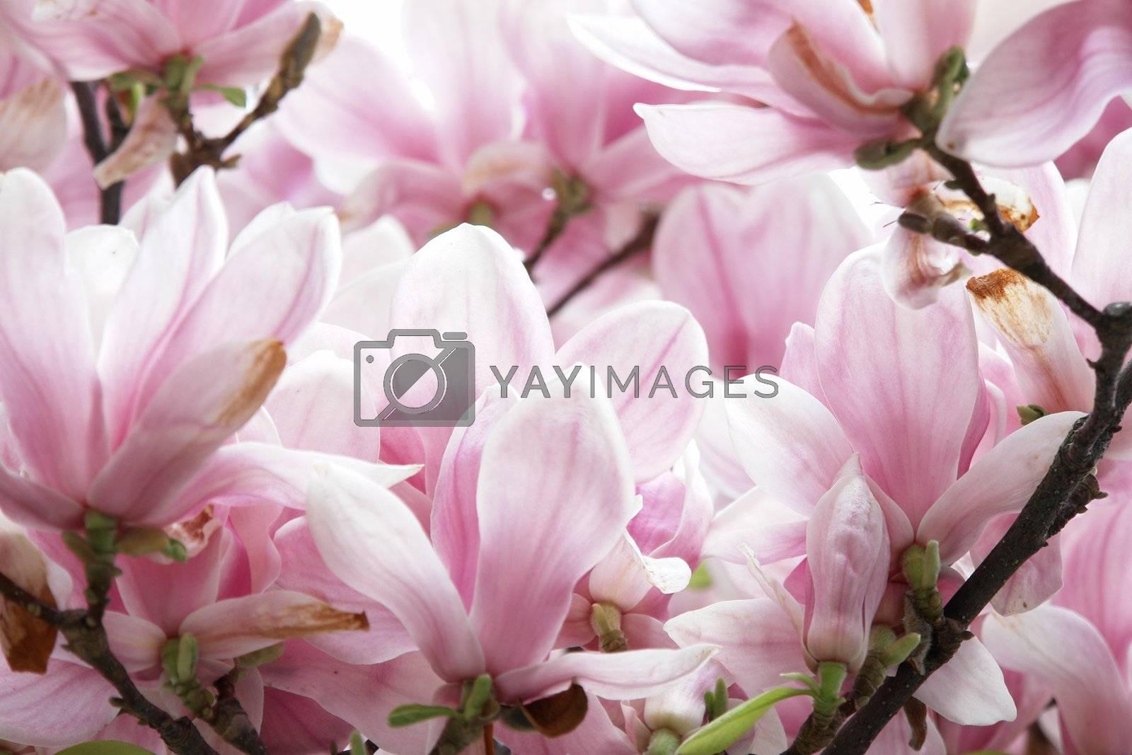 beautiful colorful viivid flowers in bloom pink