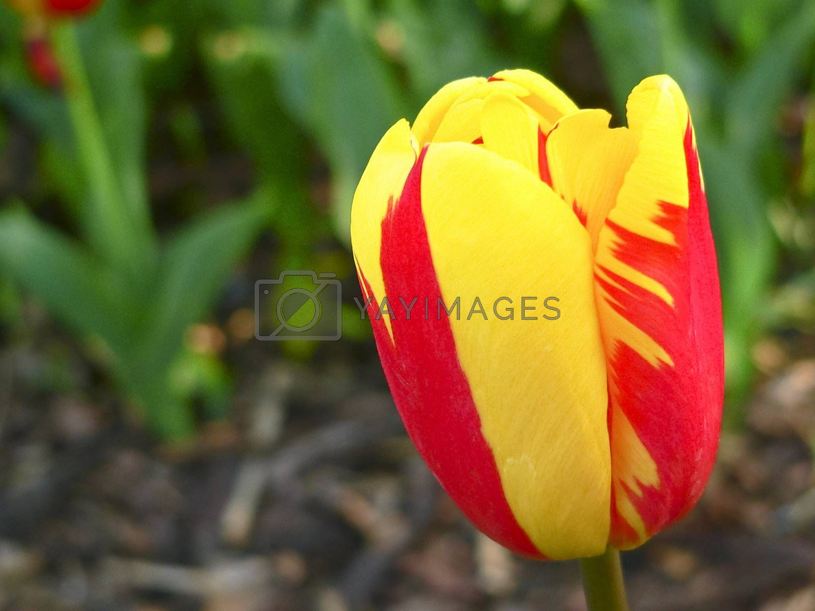 Close up beautiful single yellow and red tulip in park